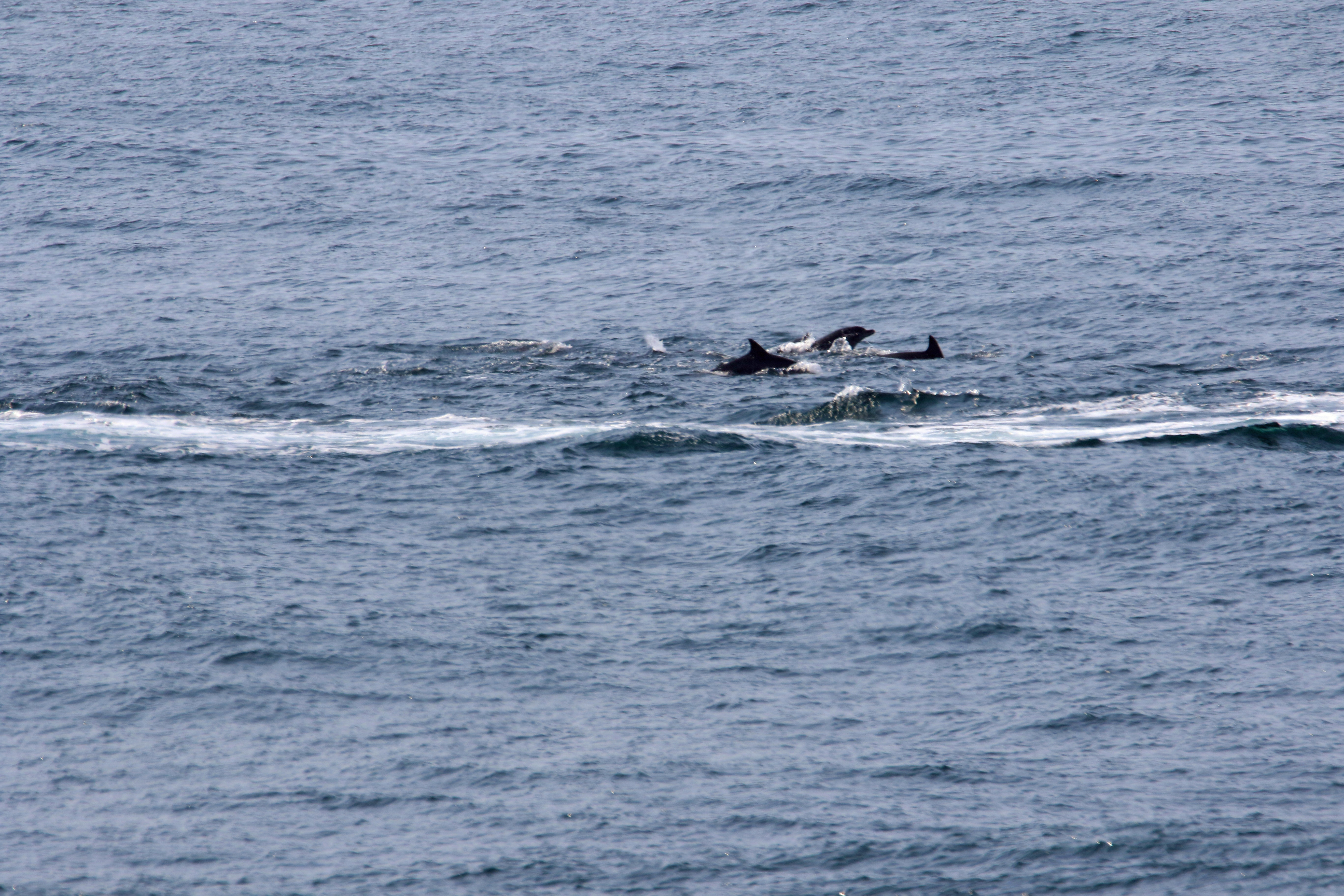 Wild dolphins swimming in the ocean photo