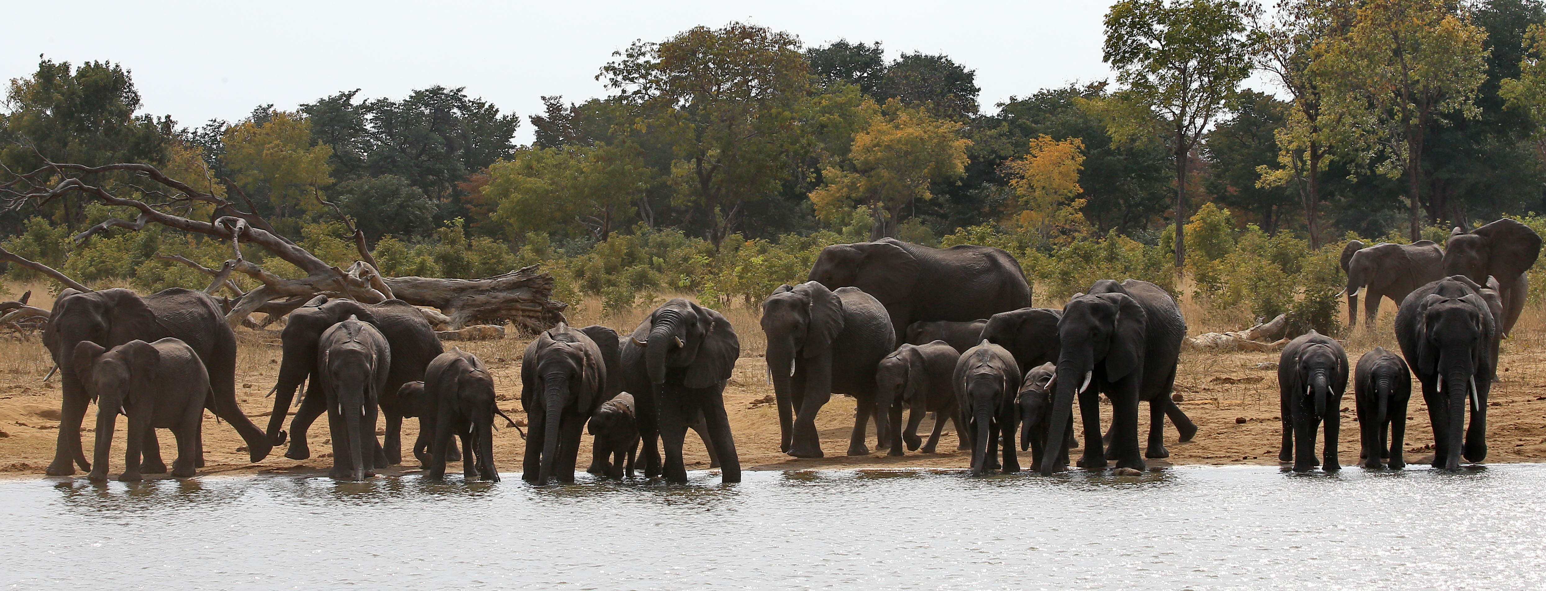 Wild elephants photo