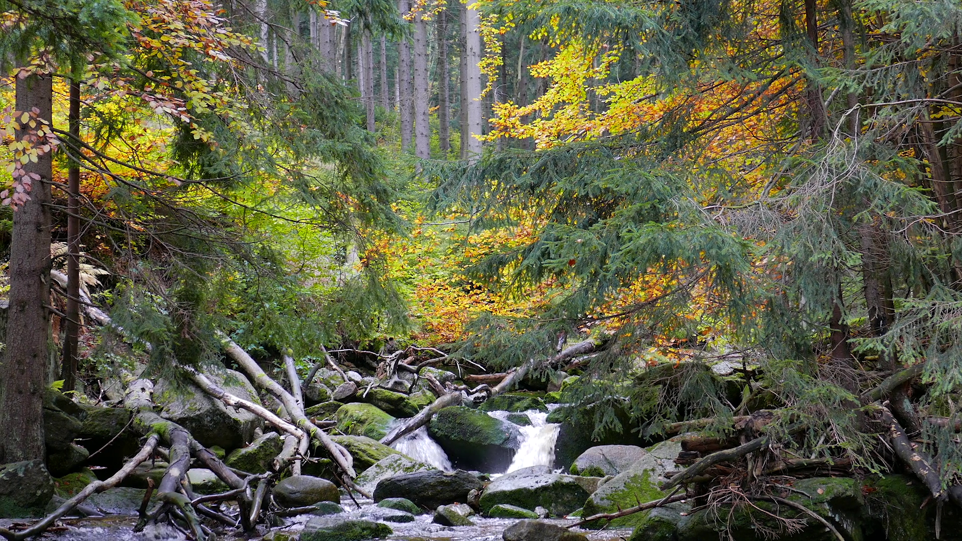 Stream of water in the wild forest at fall. Karkonosze National Park ...