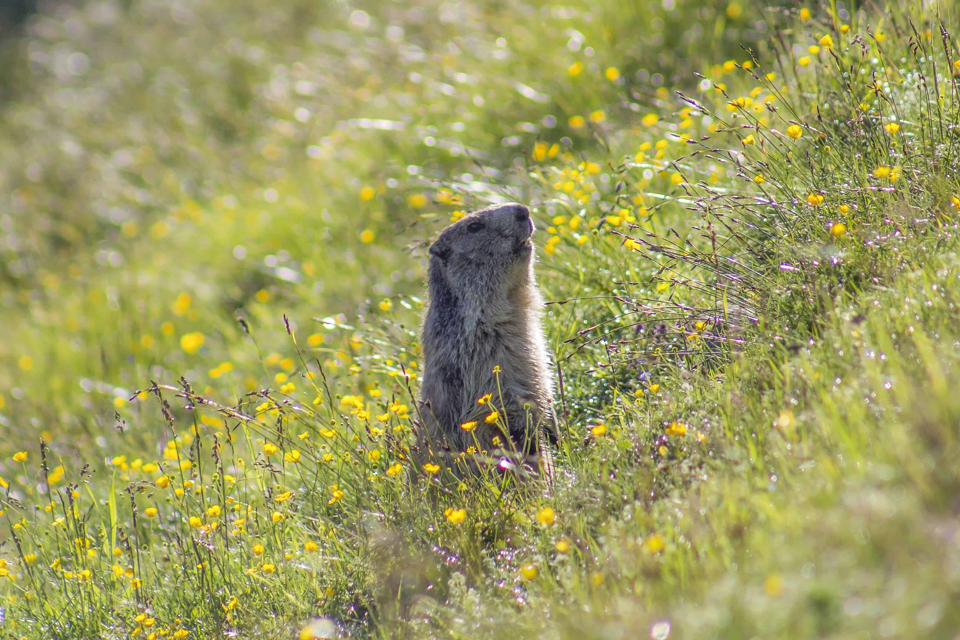 Free picture: wildlife, nature, wild, grass, rodent, flower, outdoor