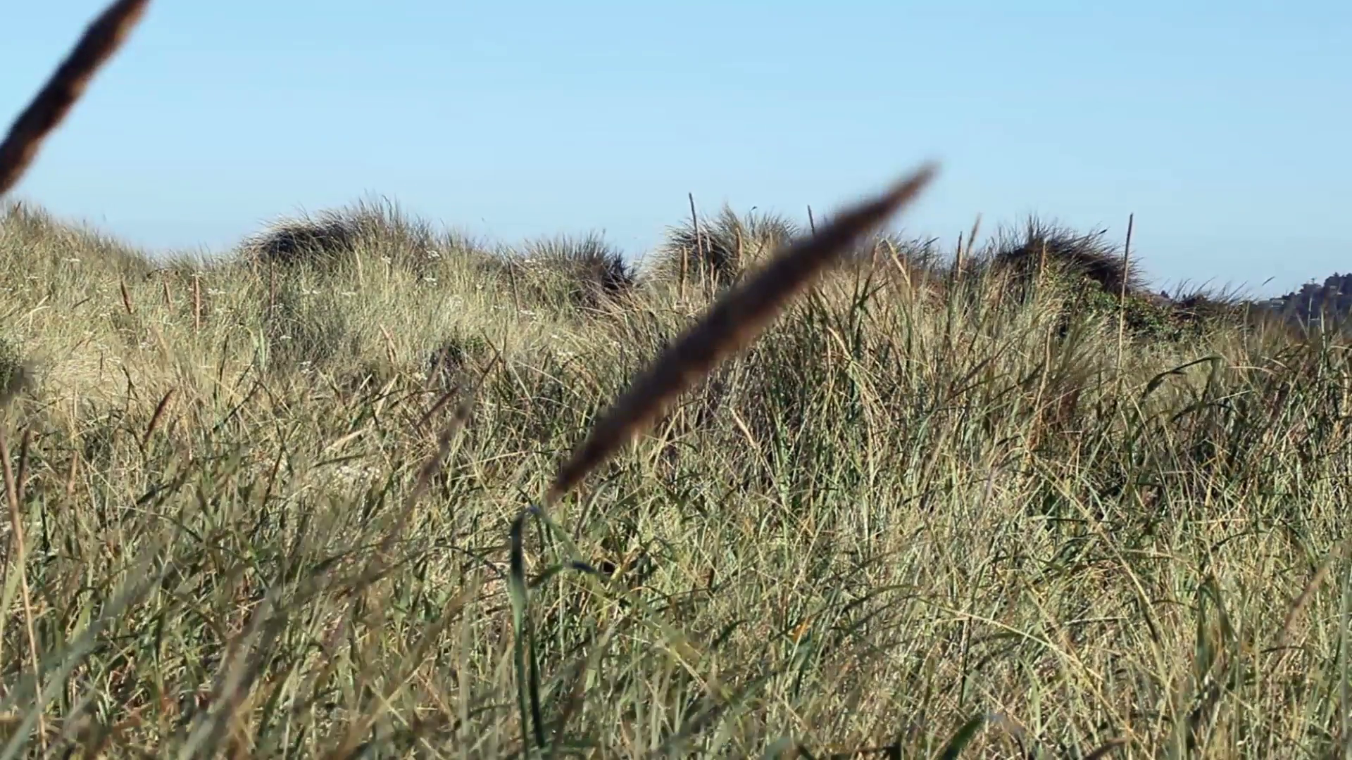 Low Angle View Of Wild Grass Swaying In Breeze With Blue Sky Stock ...