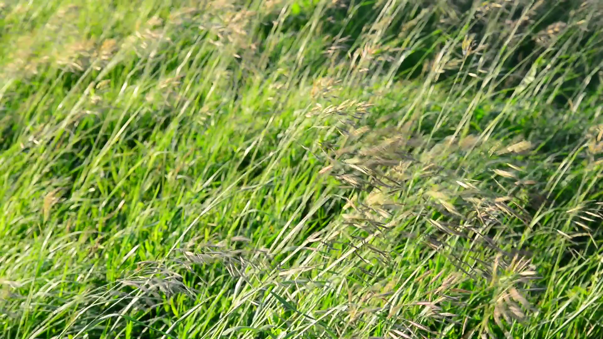 wild grass waving in strong wind in summer Stock Video Footage ...