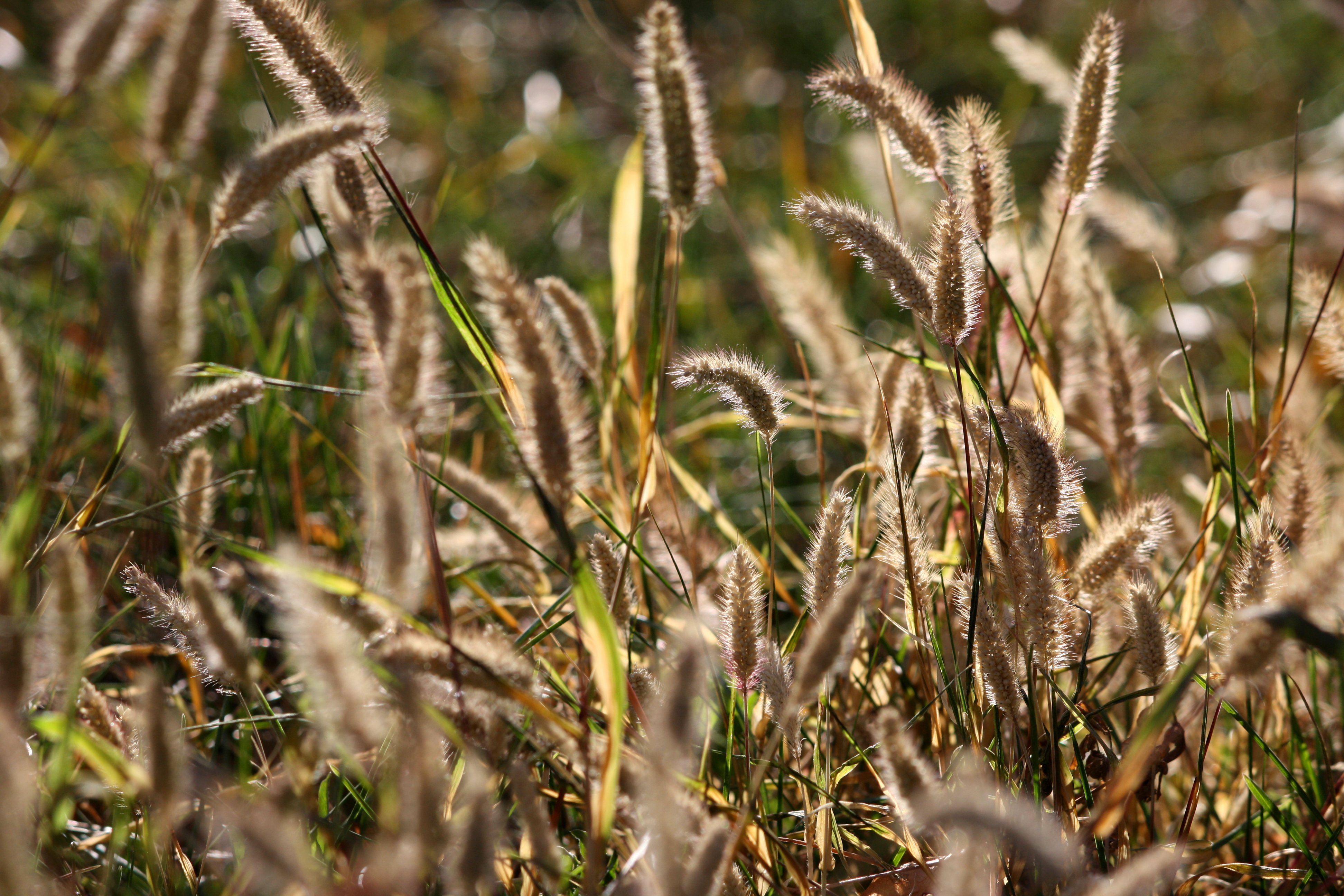 Wild Grass Seed Heads Picture | Free Photograph | Photos Public Domain