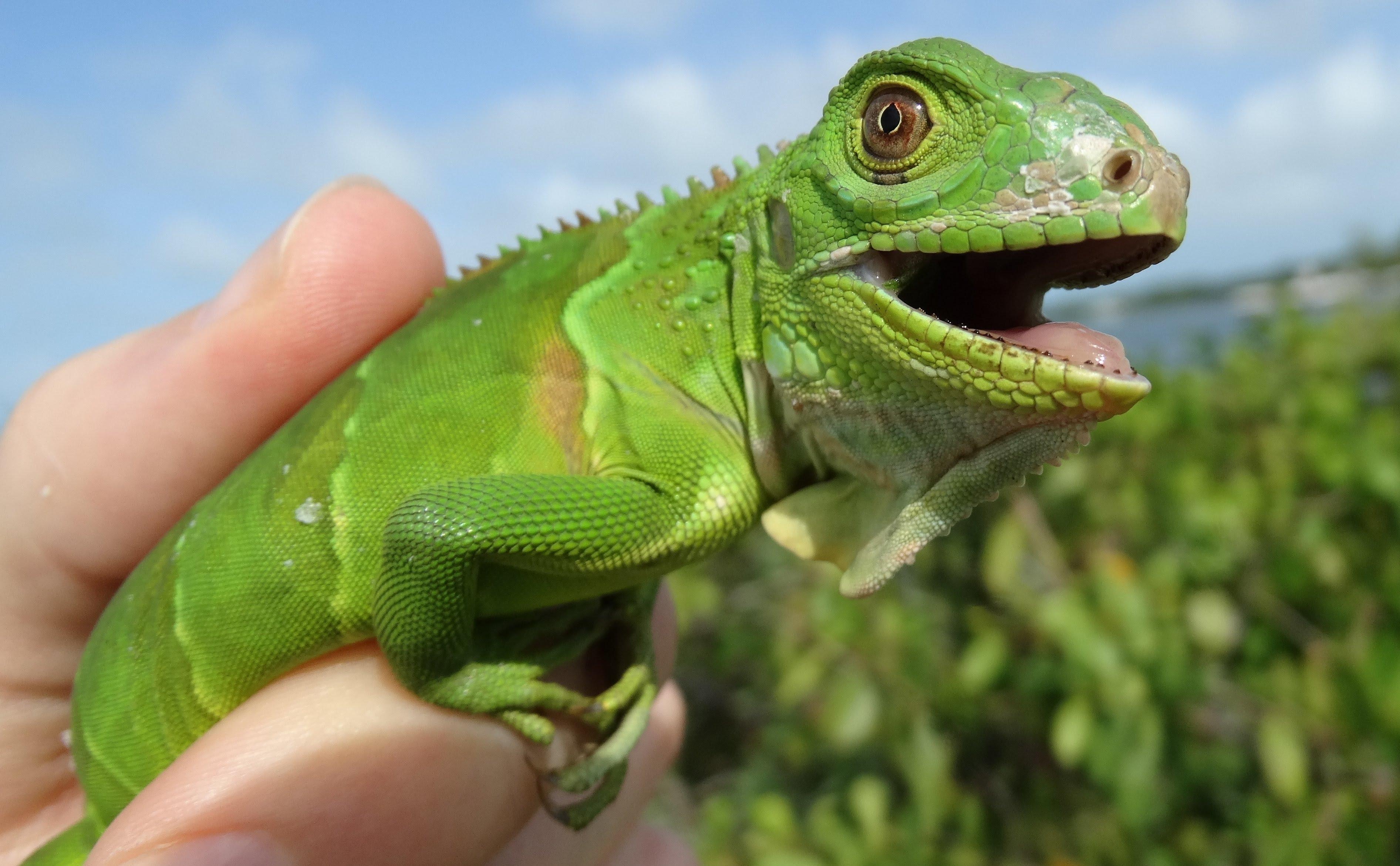 Wild iguana photo