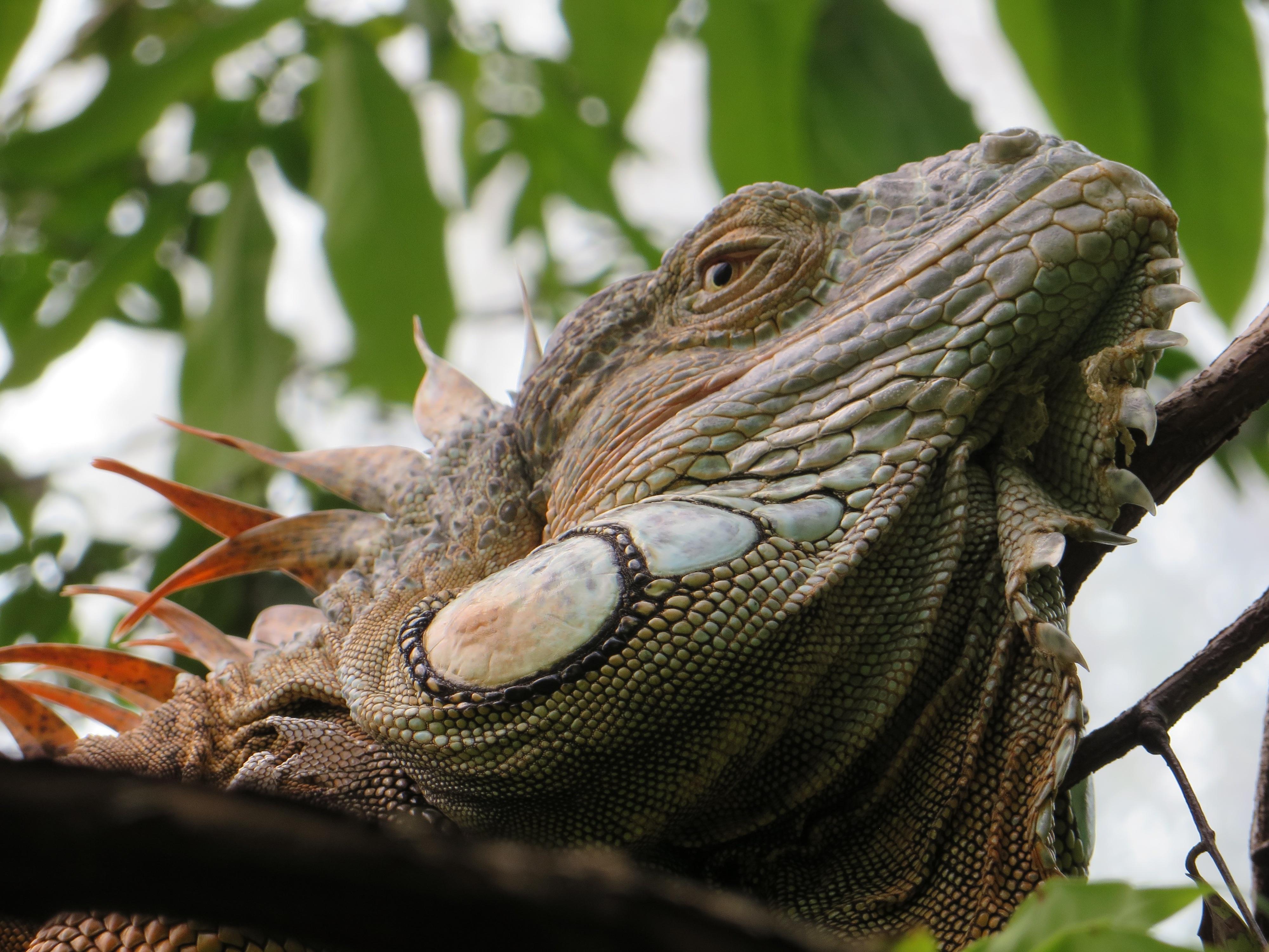 Wild Iguana, Animal, Green, Iguana, Lizard, HQ Photo