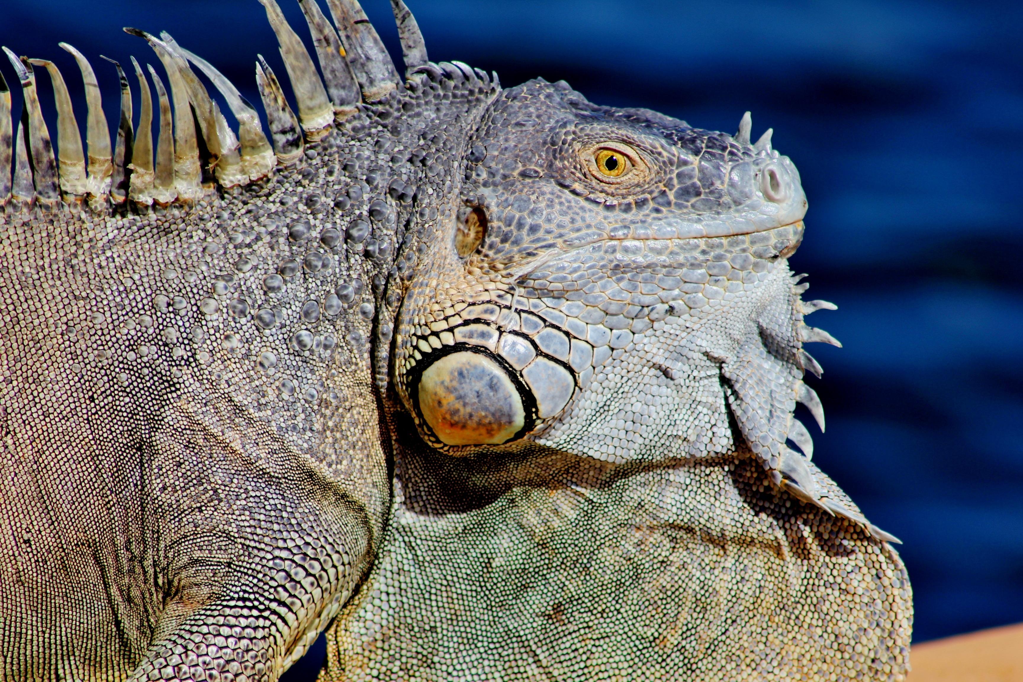 Wild Iguana, Animal, Iguana, Lizard, Nature, HQ Photo