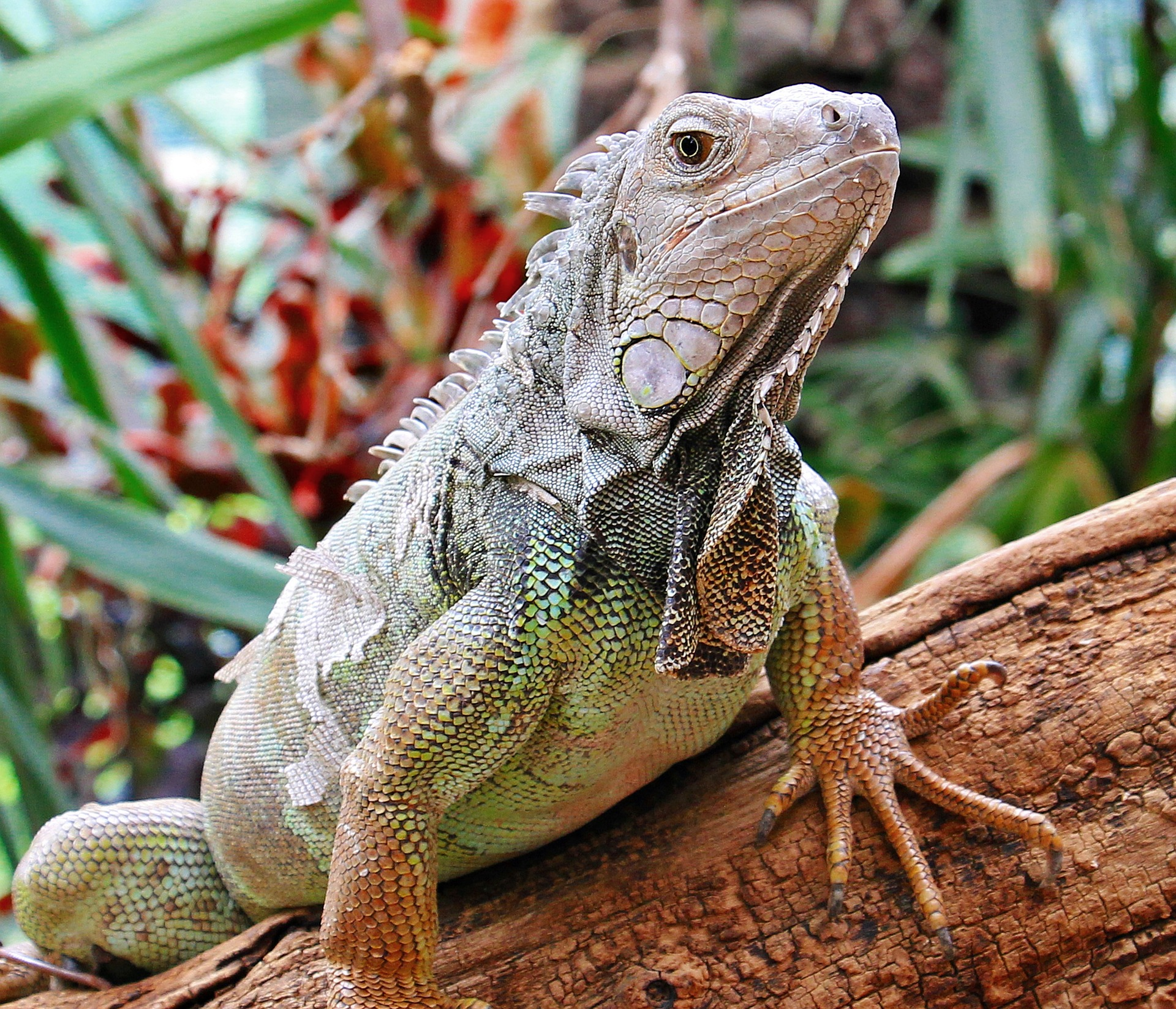 Wild Iguana, Reptile, Wild, Park, Nature, HQ Photo
