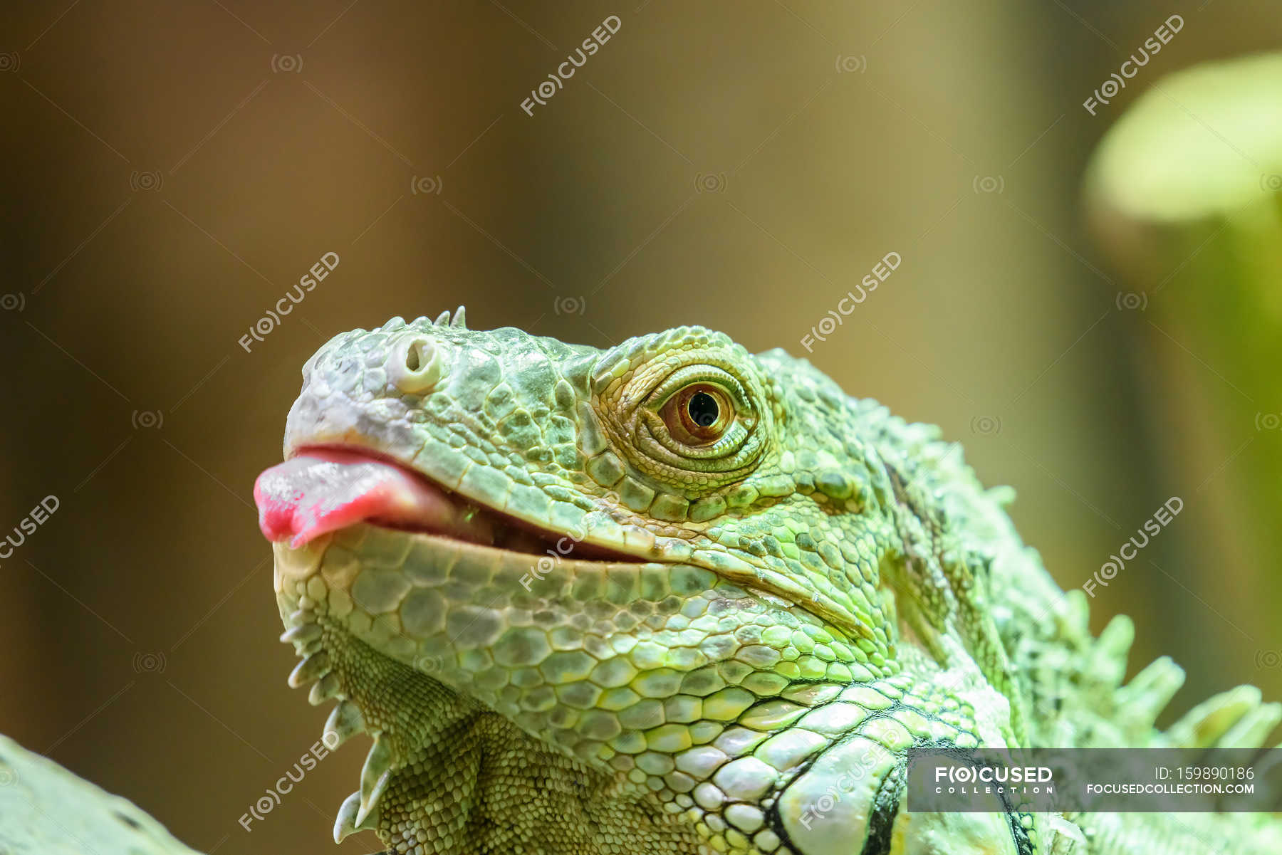 Wild iguana in nature — Stock Photo | #159890186