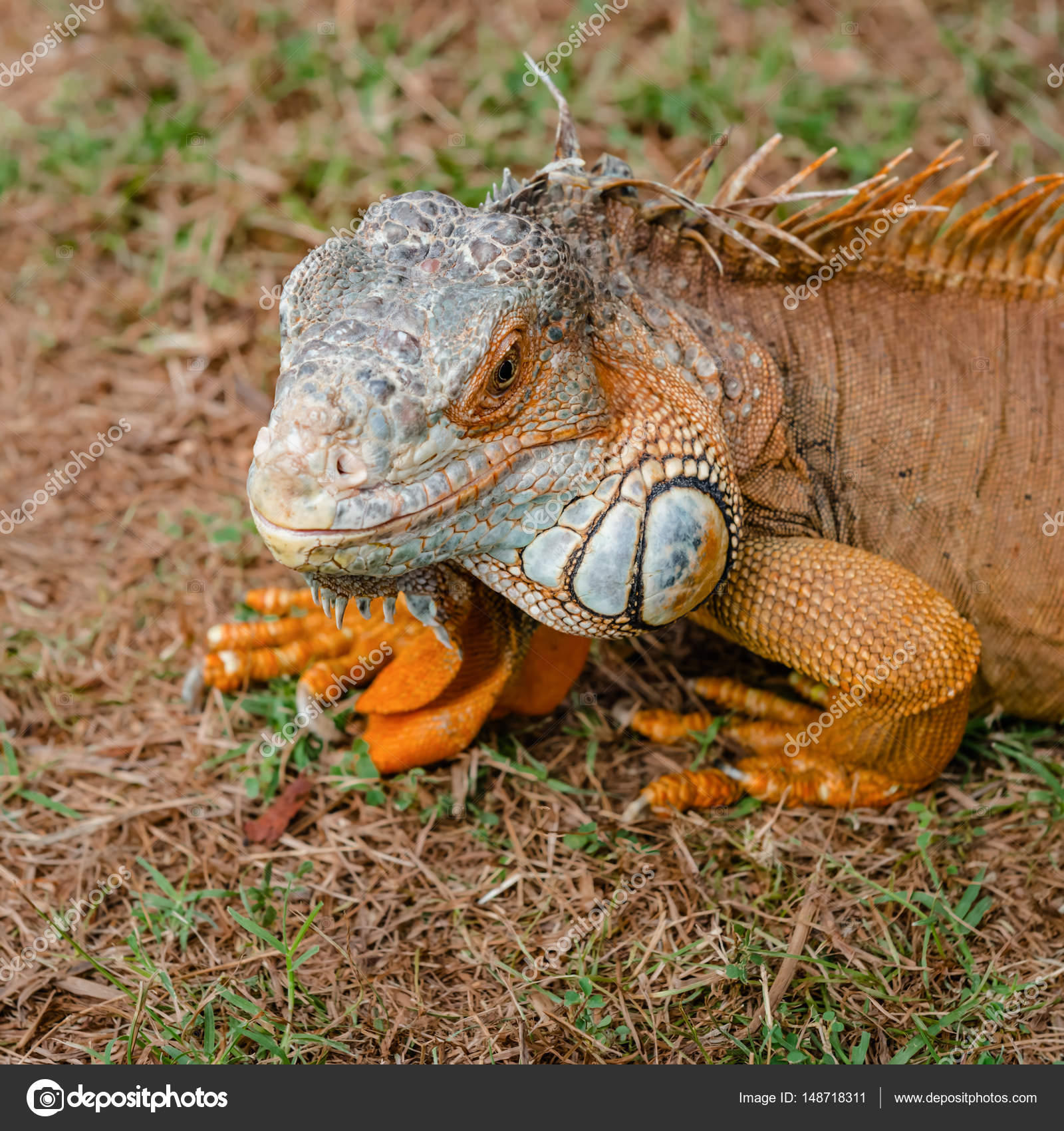Iguana orange wild male lizard tropical exotic animal close up ...