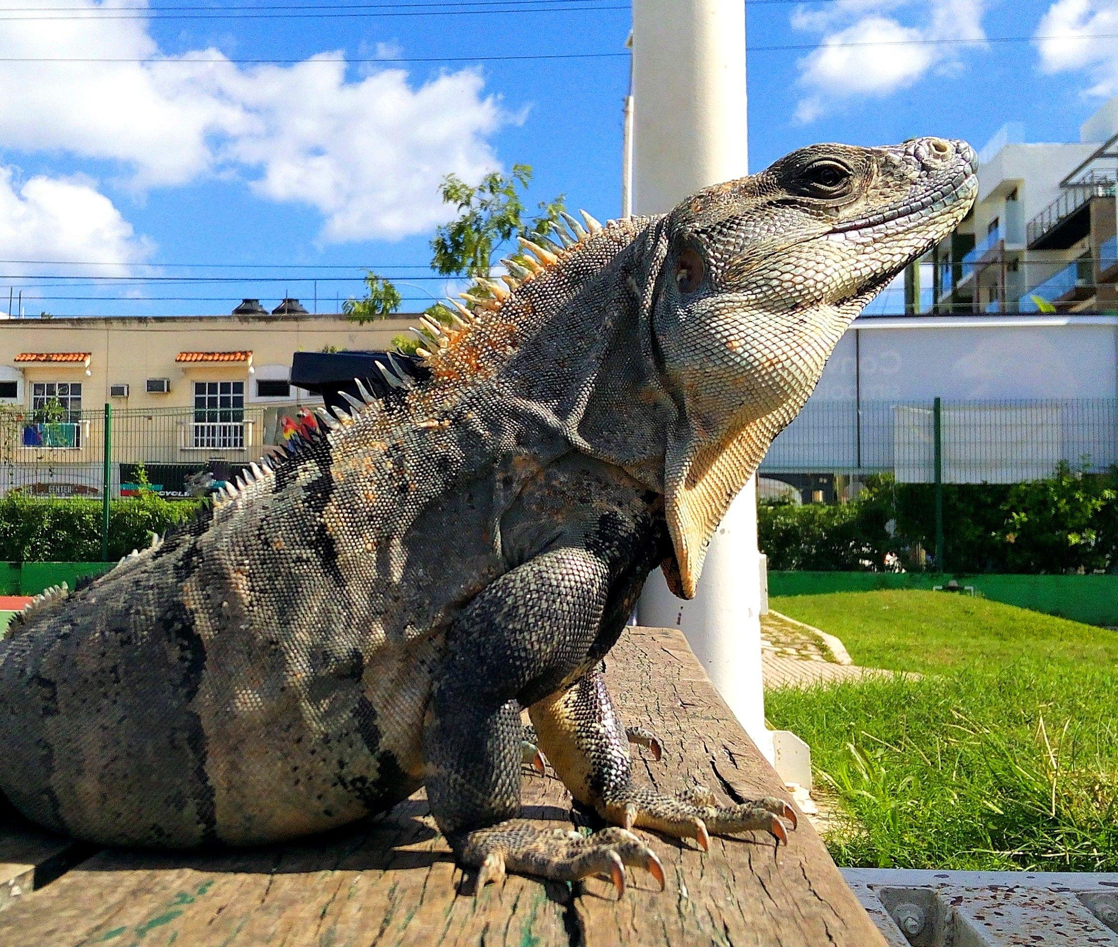 Meet Ricky, a wild black spiny-tailed iguana who lives outside my ...