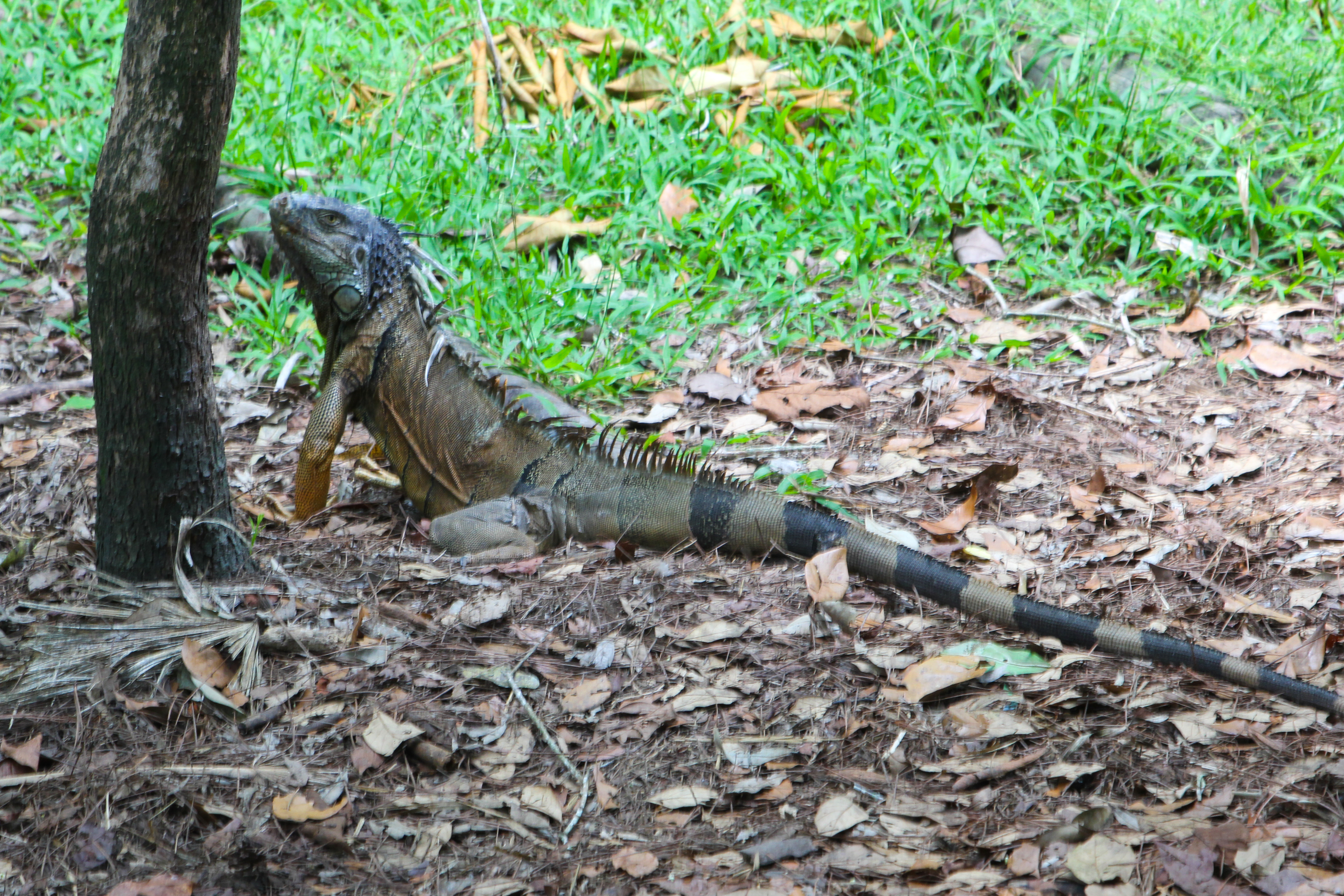 Photo Detail: Wild iguana, taking advantage of food for the actual ...