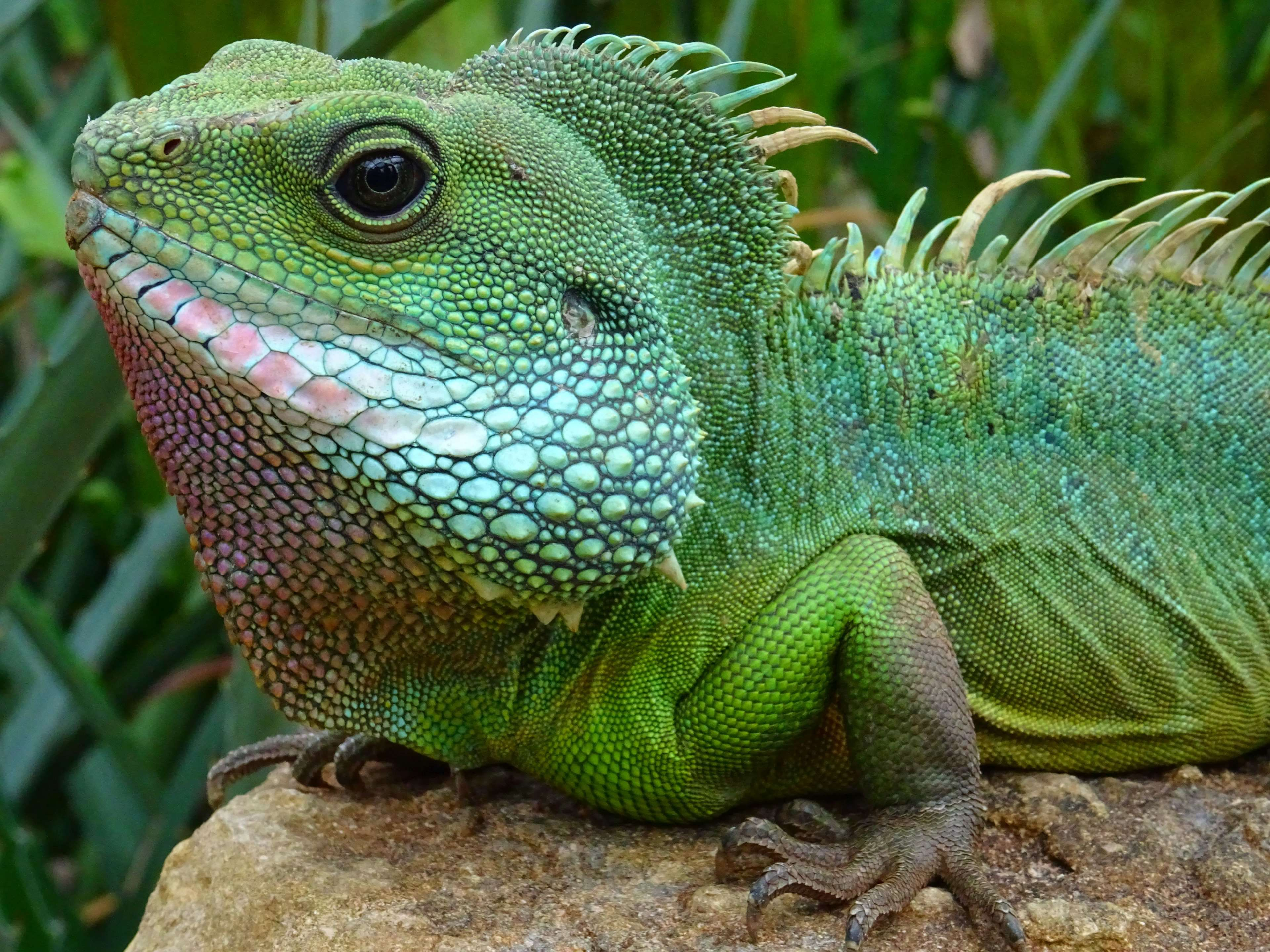 animal #close up #colors #exotic #eye #green #head #iguana #lizard ...