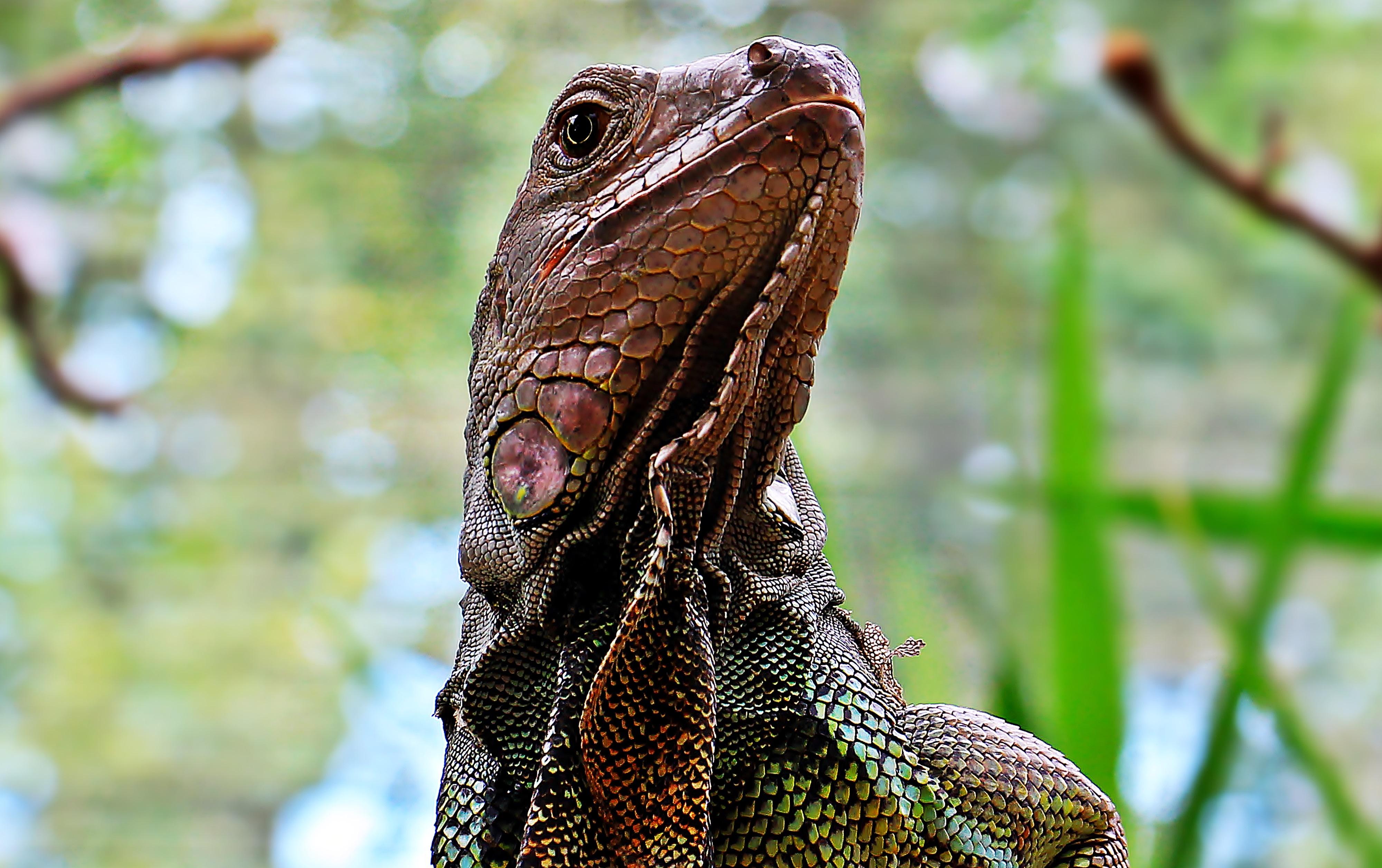 Wild Iguana, Animal, Iguana, Jungle, Lizard, HQ Photo