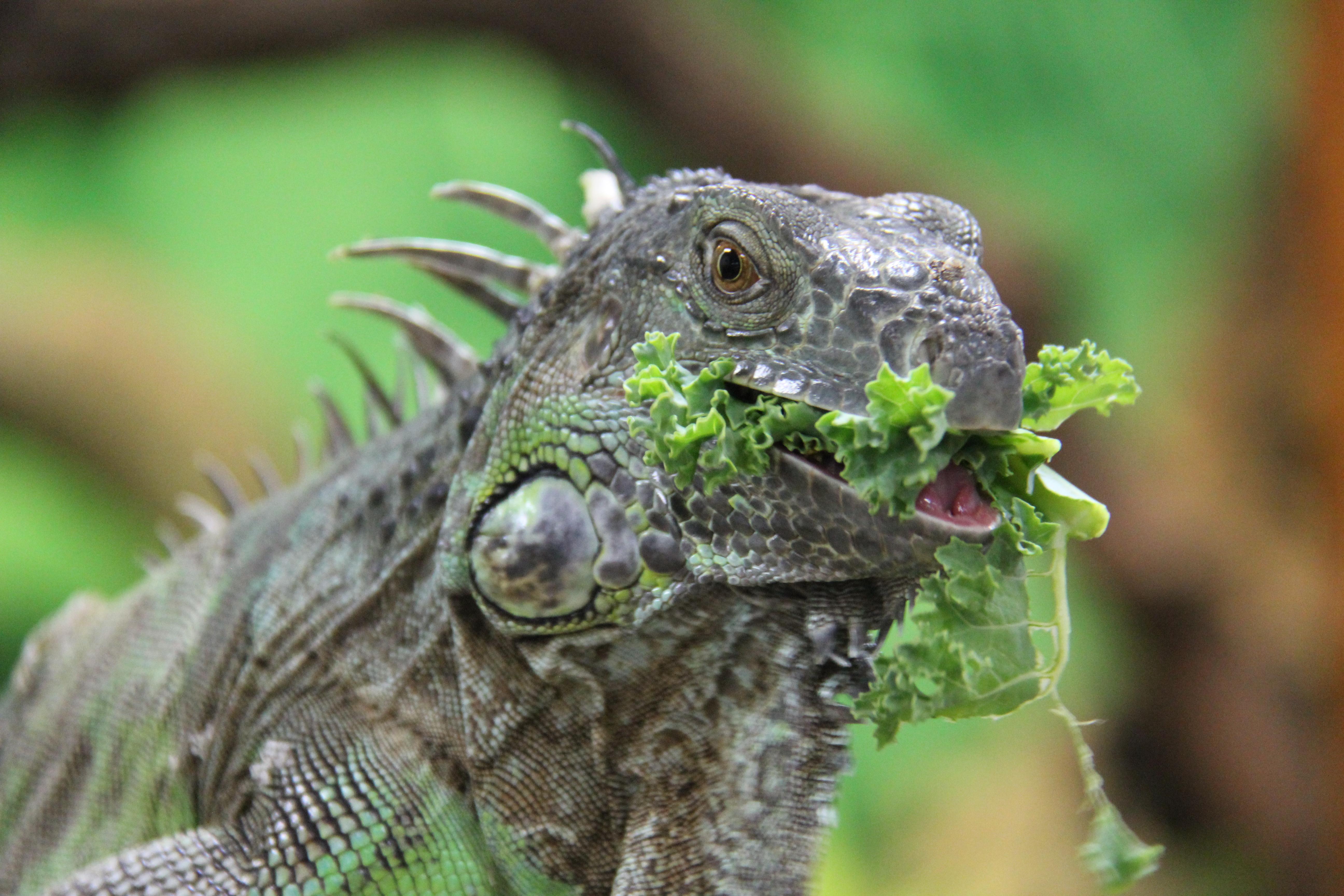 Chile - The Green Iguana | Taronga