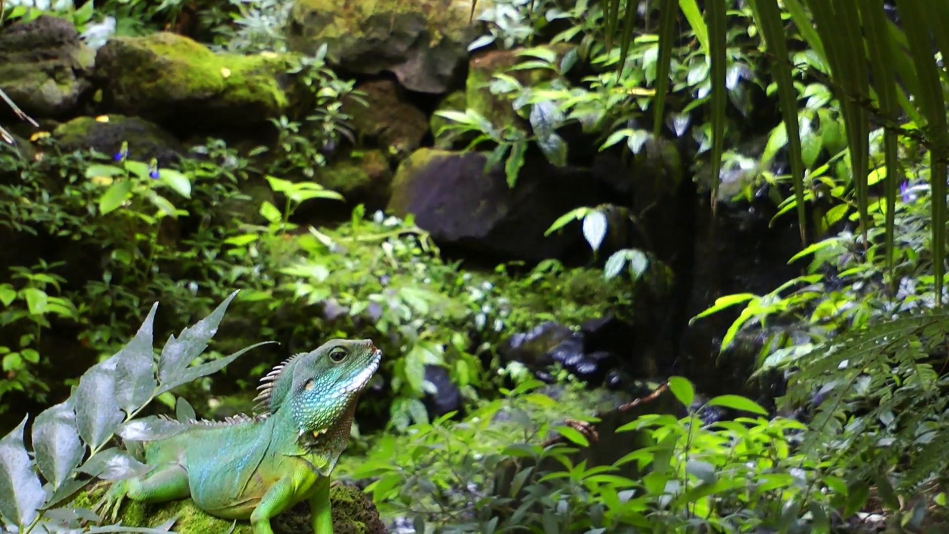 Iguana in a Tropical Zone and Waterfall in Wild Nature Stock Video ...