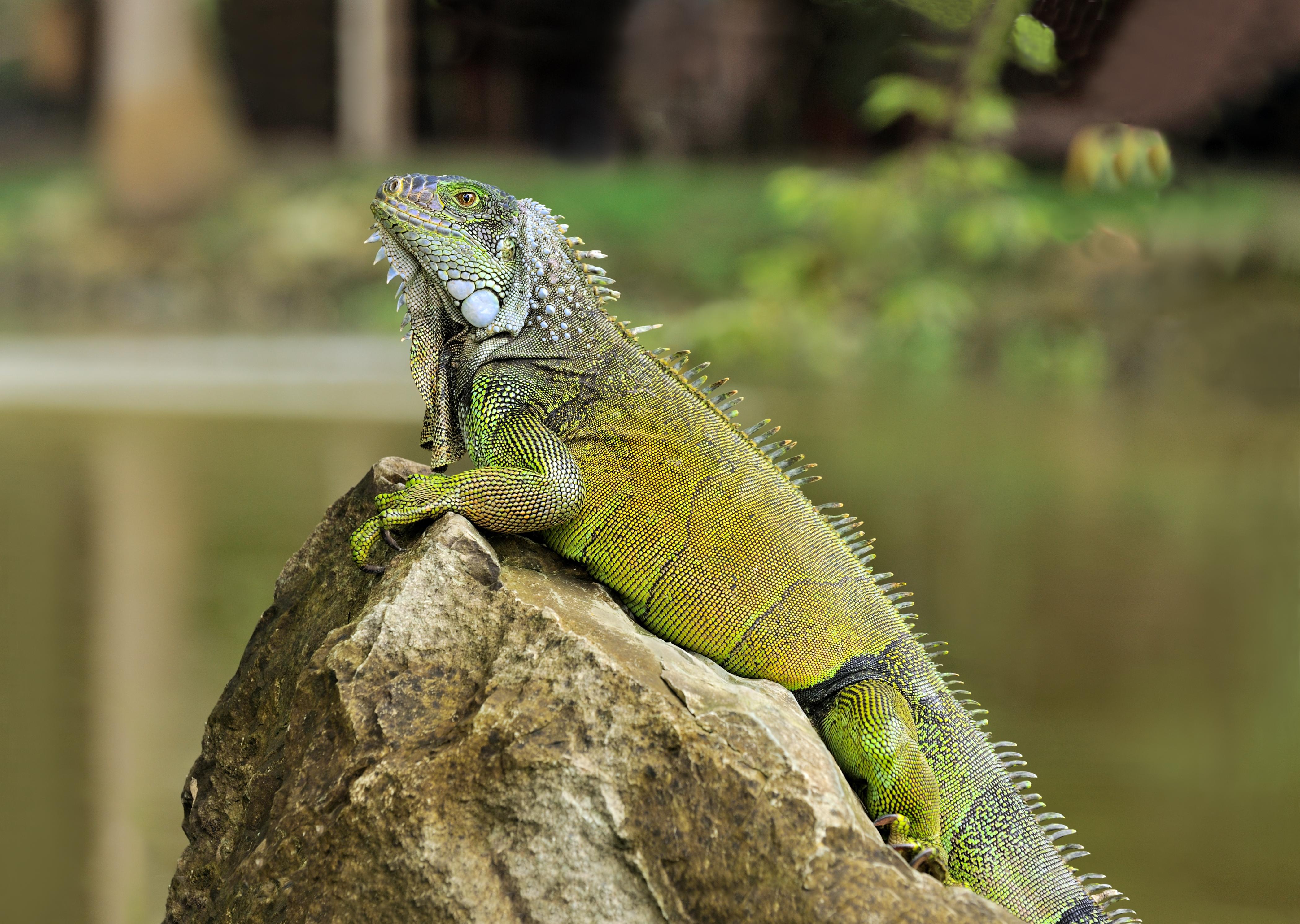 File:Iguana iguana Portoviejo 04.jpg - Wikipedia