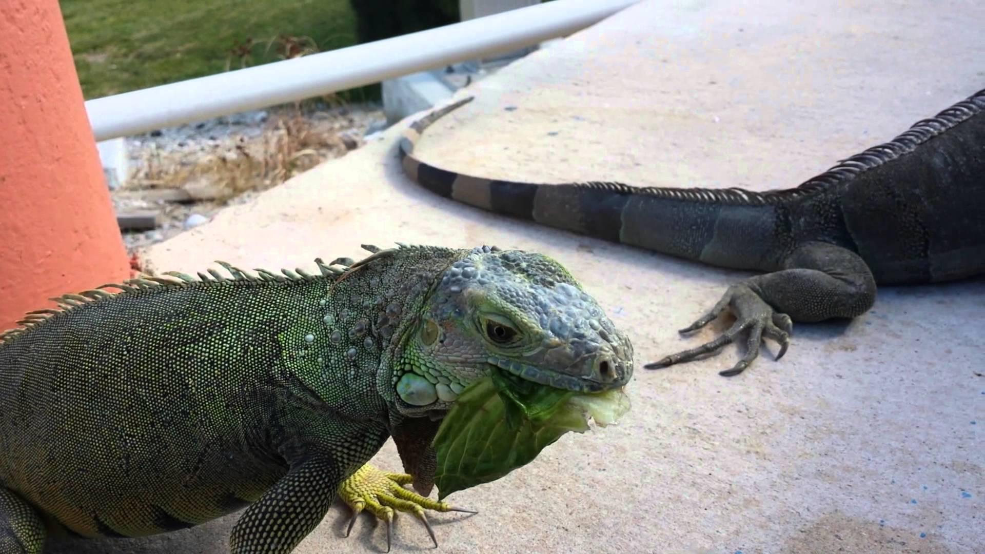 Petting a wild iguana in Miami, Florida - YouTube