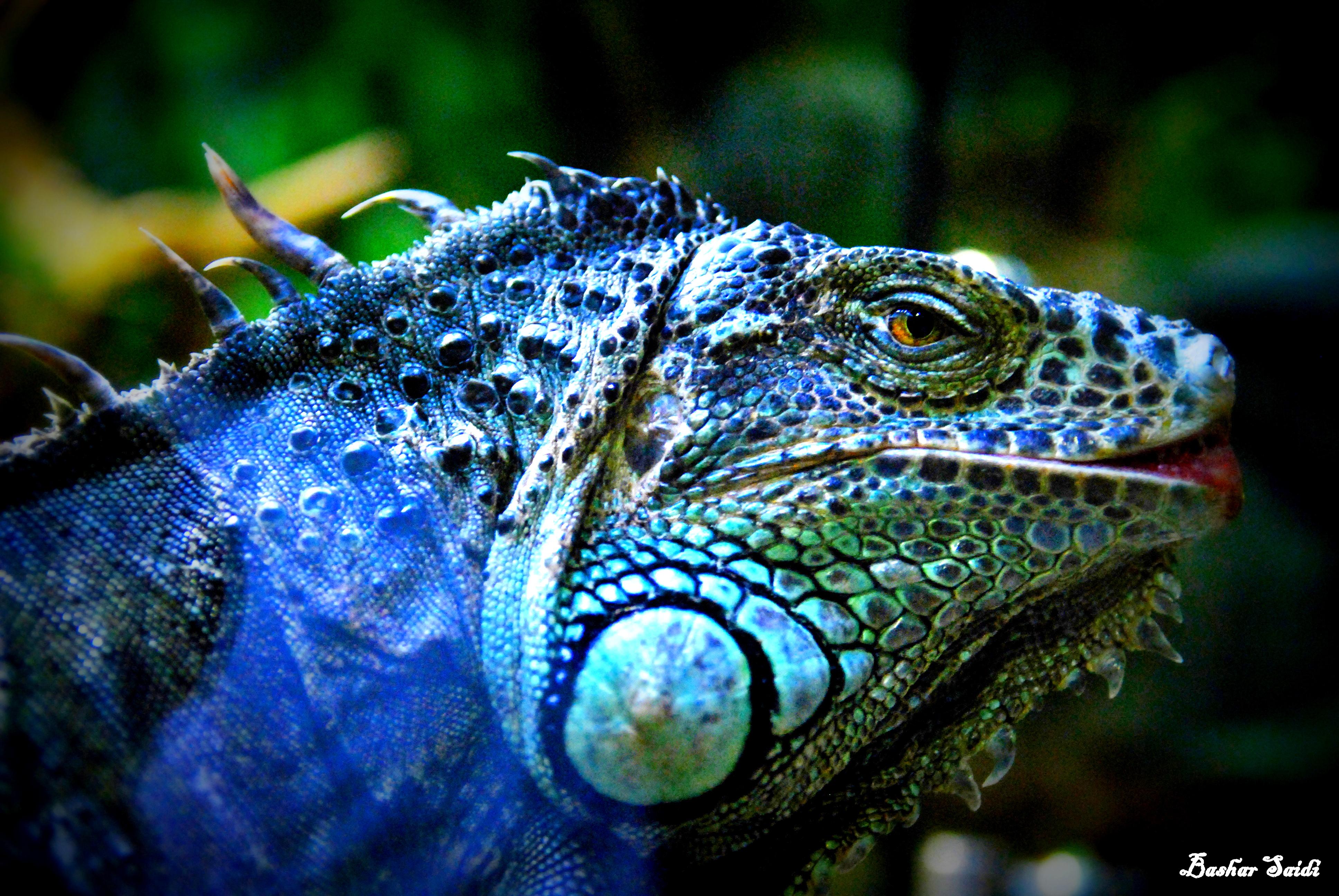 Iguana – Bashar Saidi