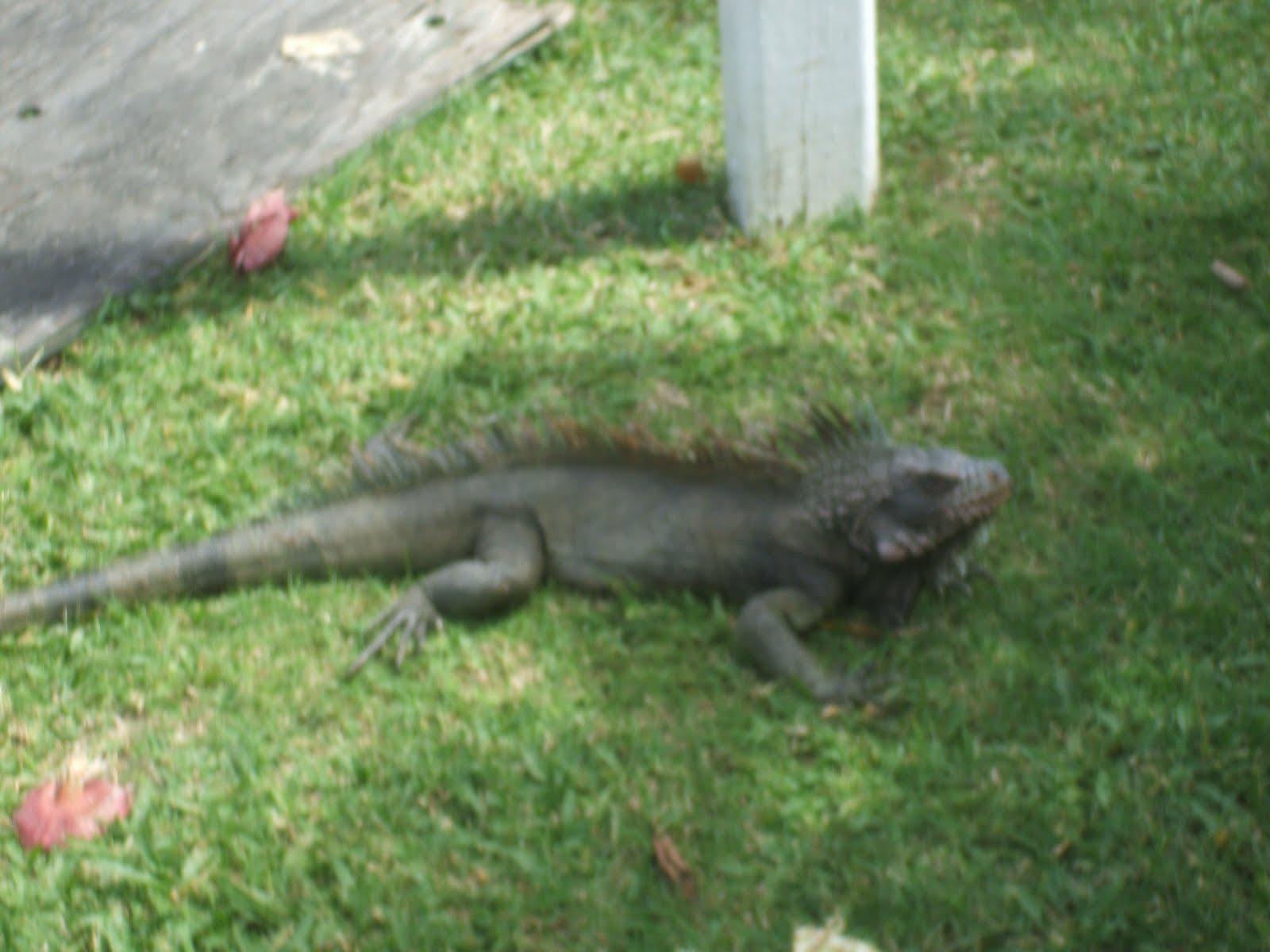 Farsighted Fly Girl: St. Thomas Iguana Adventure