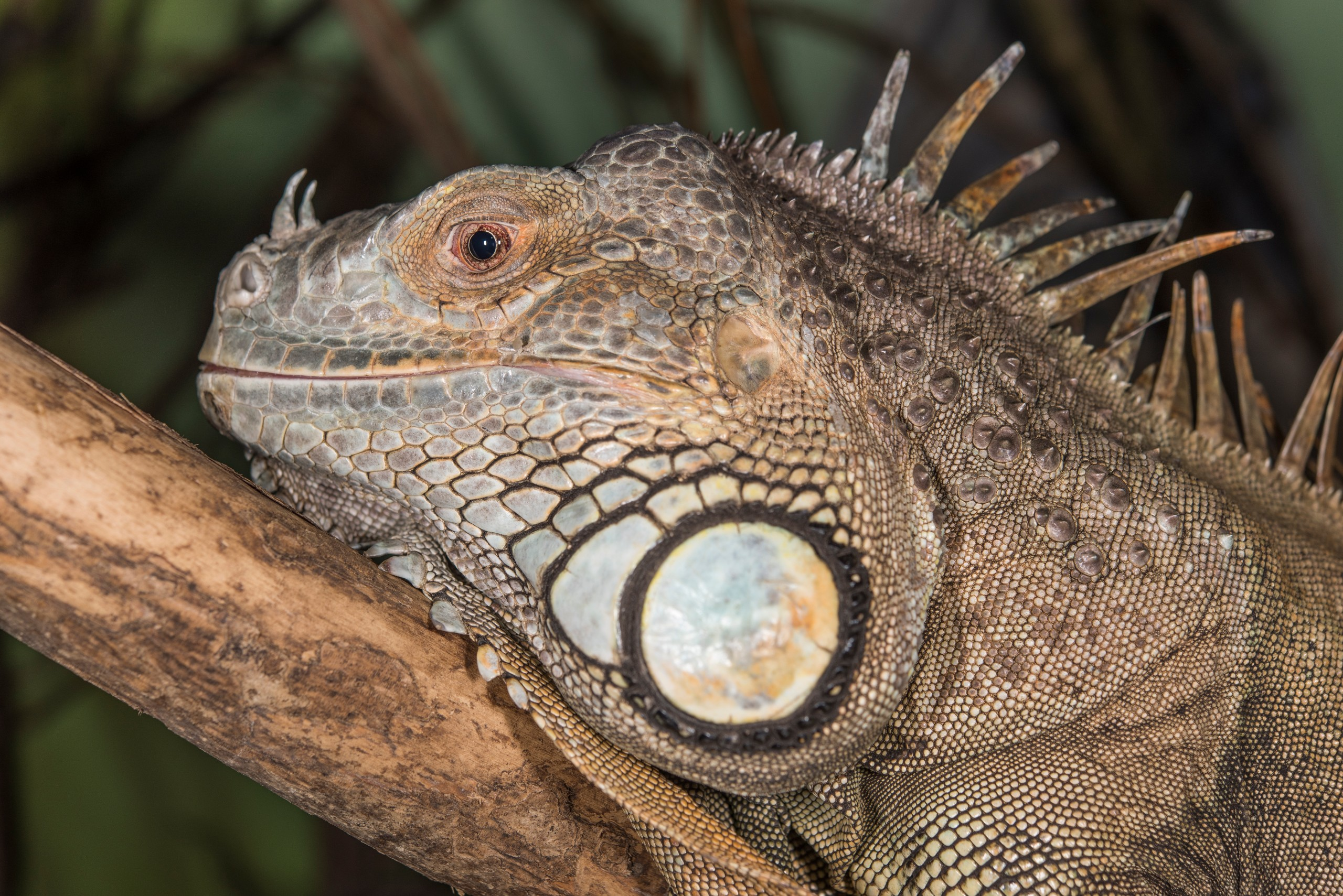 Green iguana - fun facts and information for kids - Folly Farm