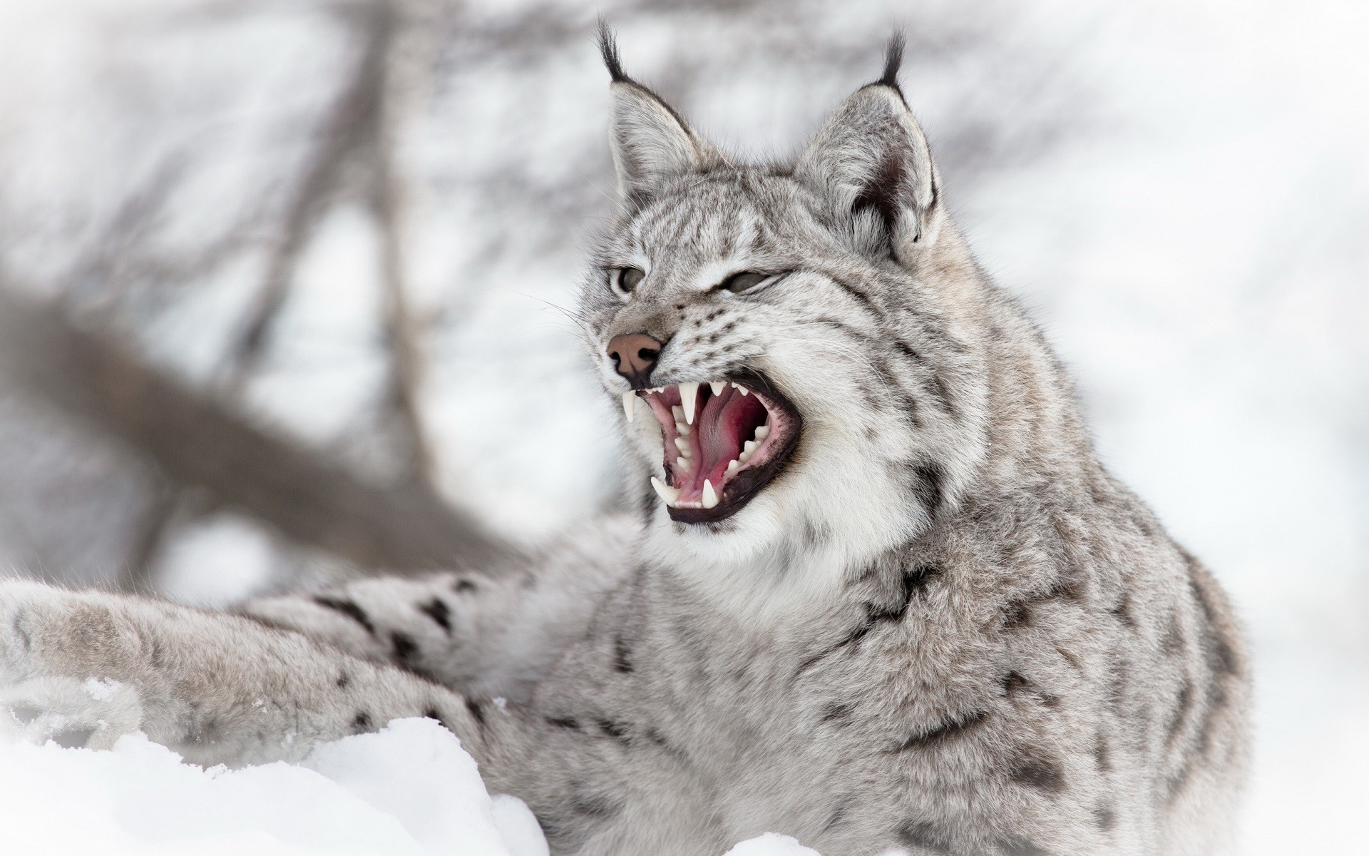 Wild lynx photo