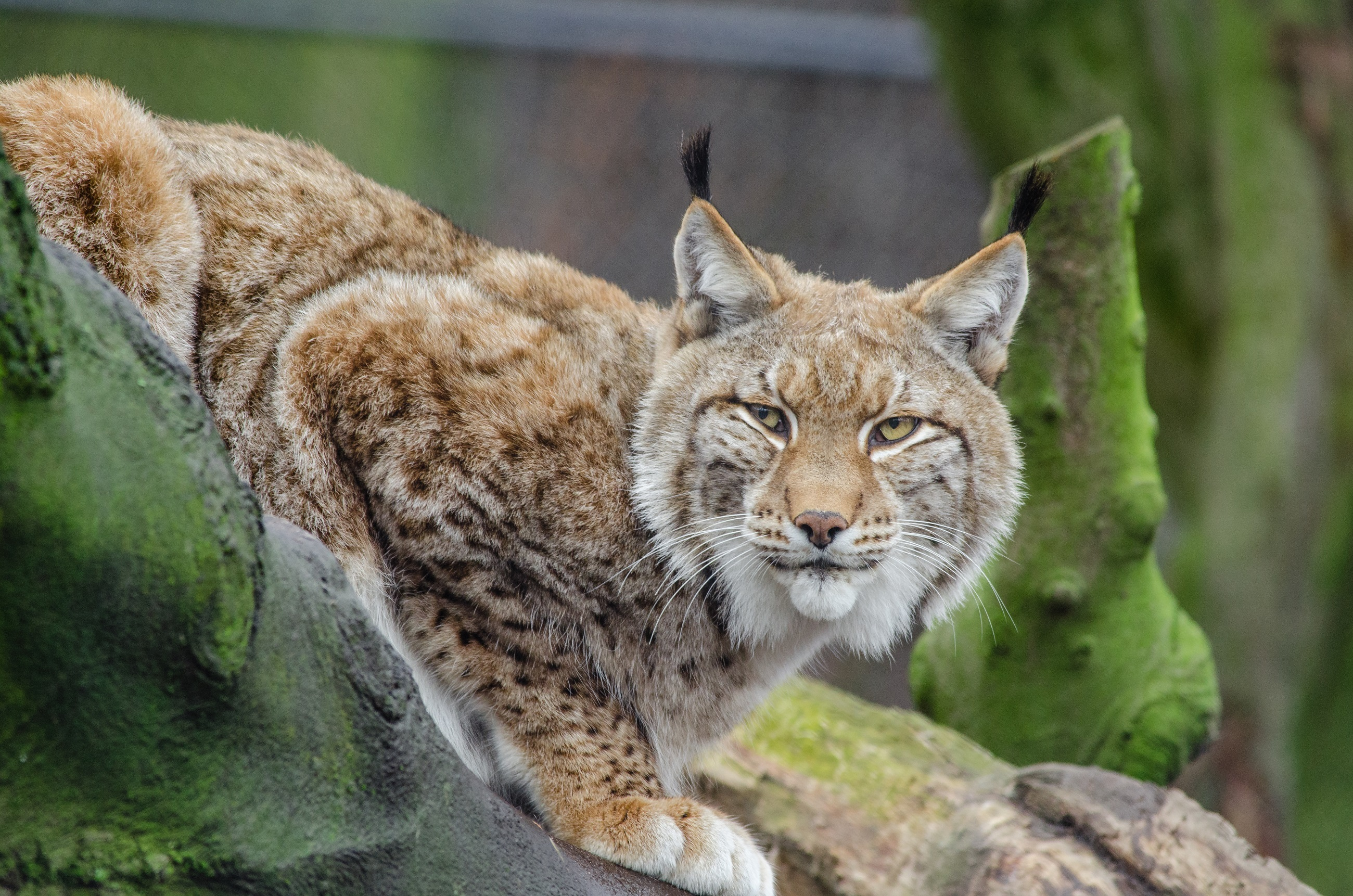 Wild Lynx, Wild, Zoo, Nature, Jungle, HQ Photo