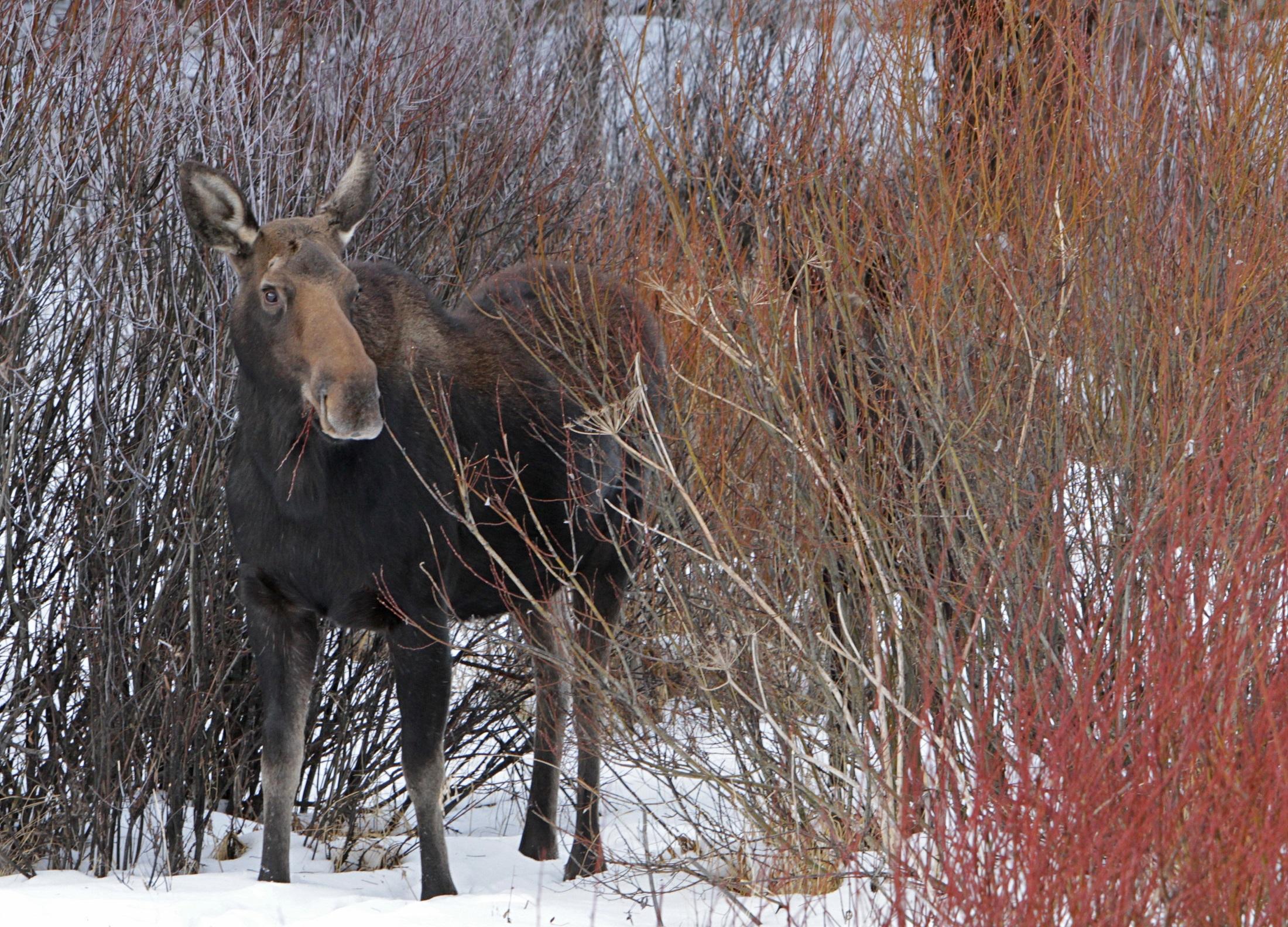 Wild moose photo
