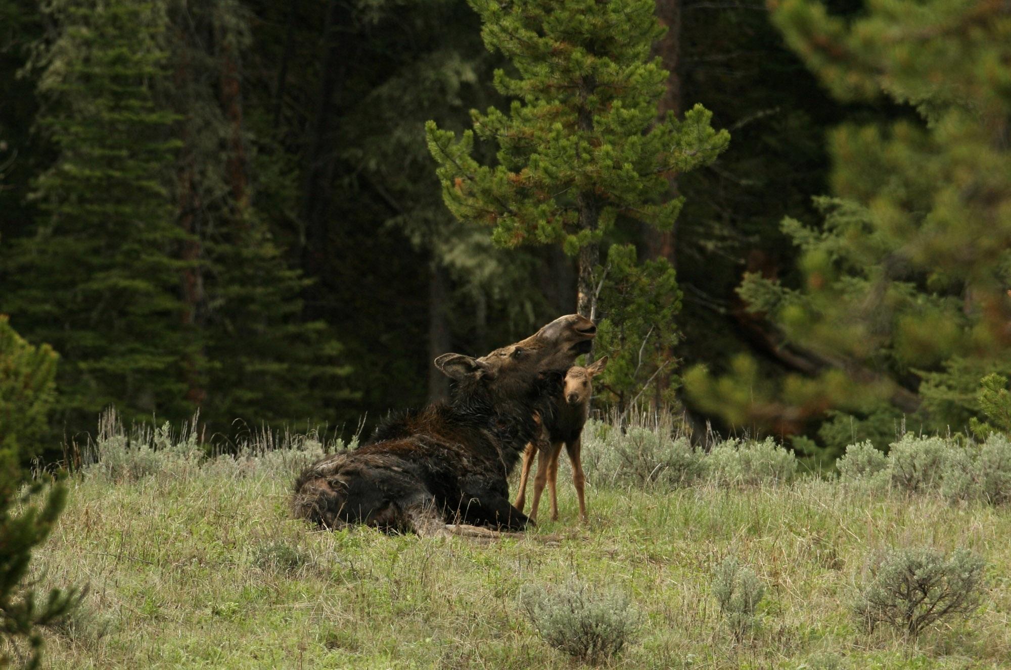 Wild Moose, Animal, Jungle, Moose, Nature, HQ Photo