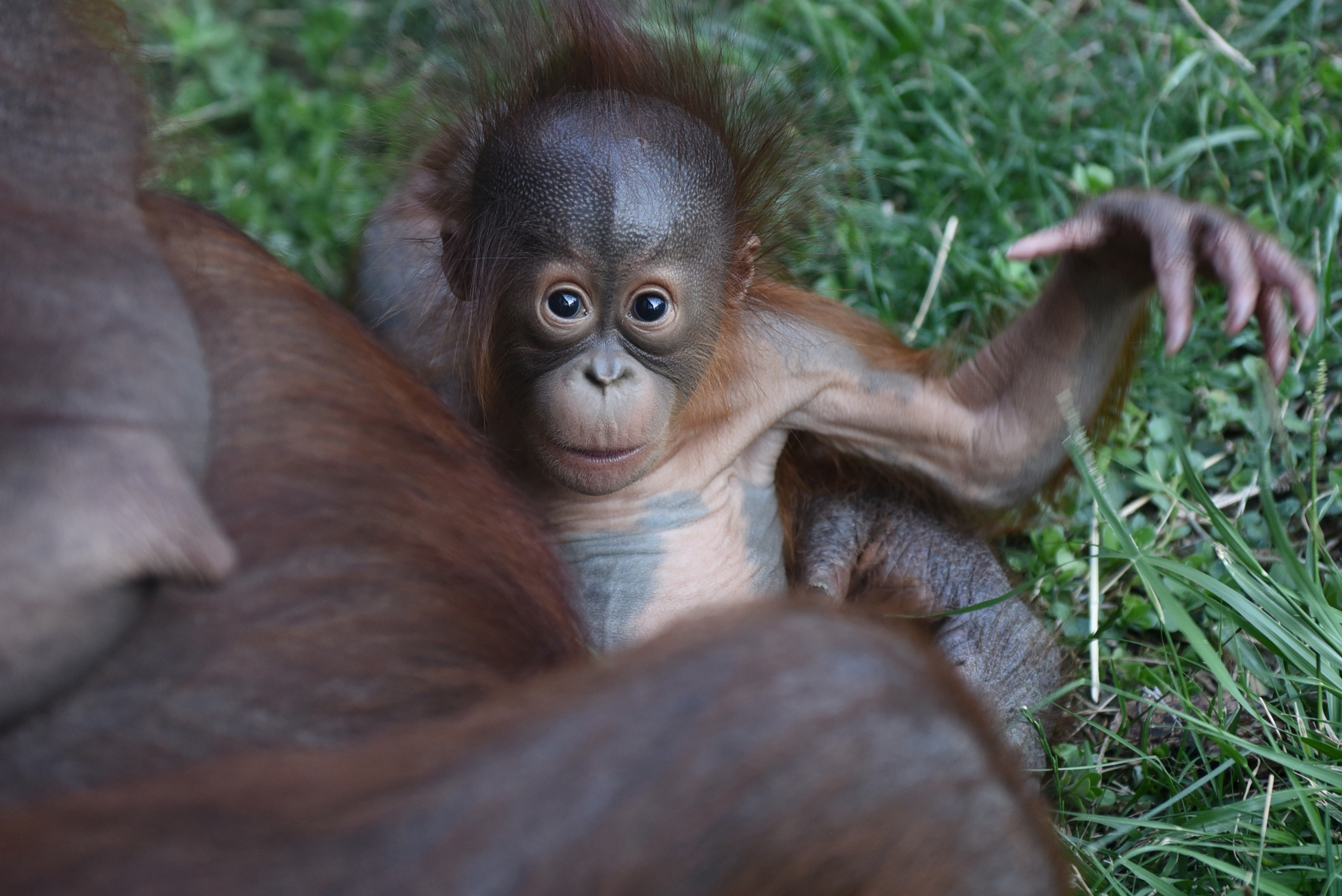Palm Oil Could Kill Off Wild Orangutans in Just 10 Years | Fortune