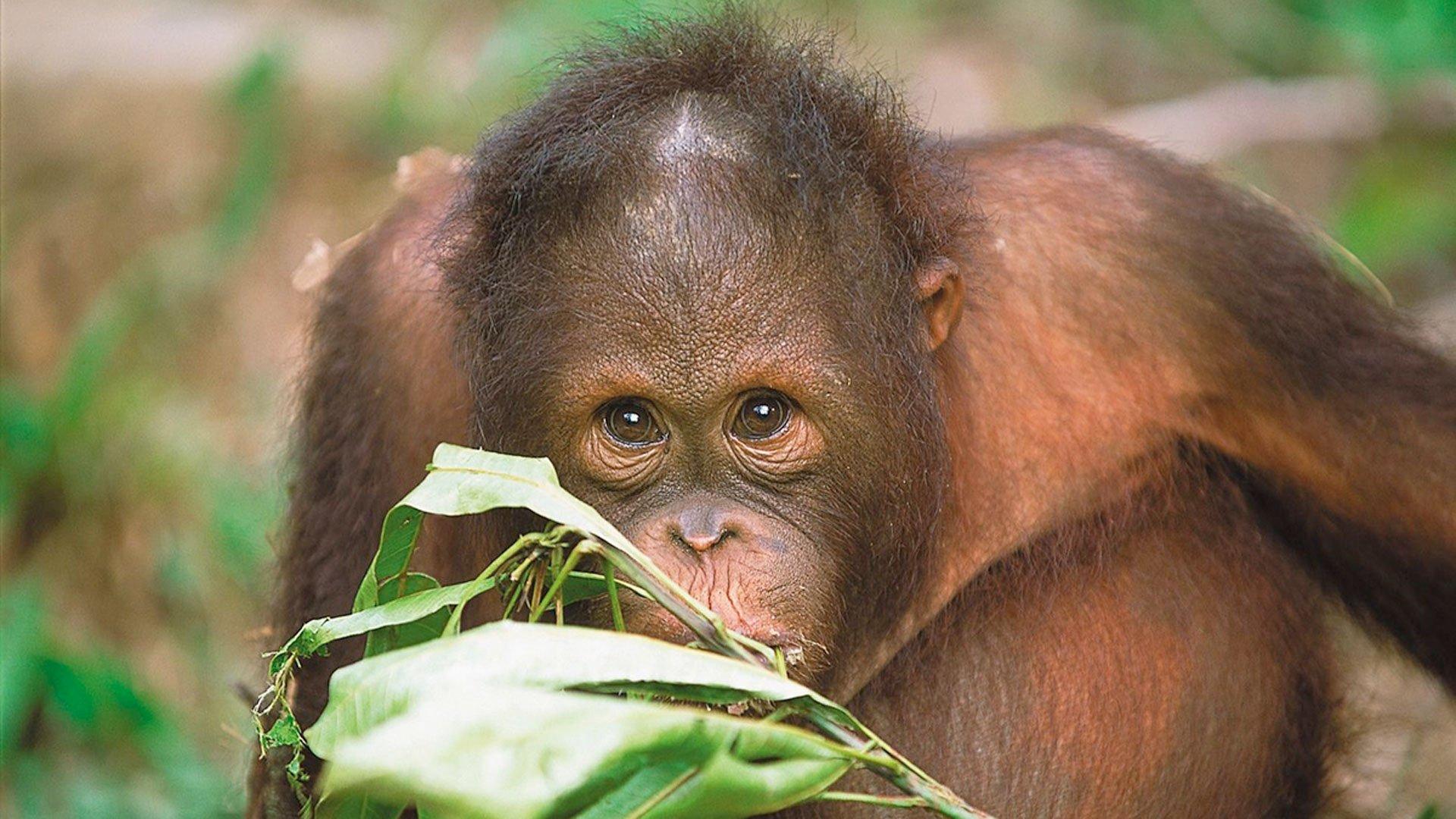 Best place to see wild orangutans in Borneo? - Natural World Safaris