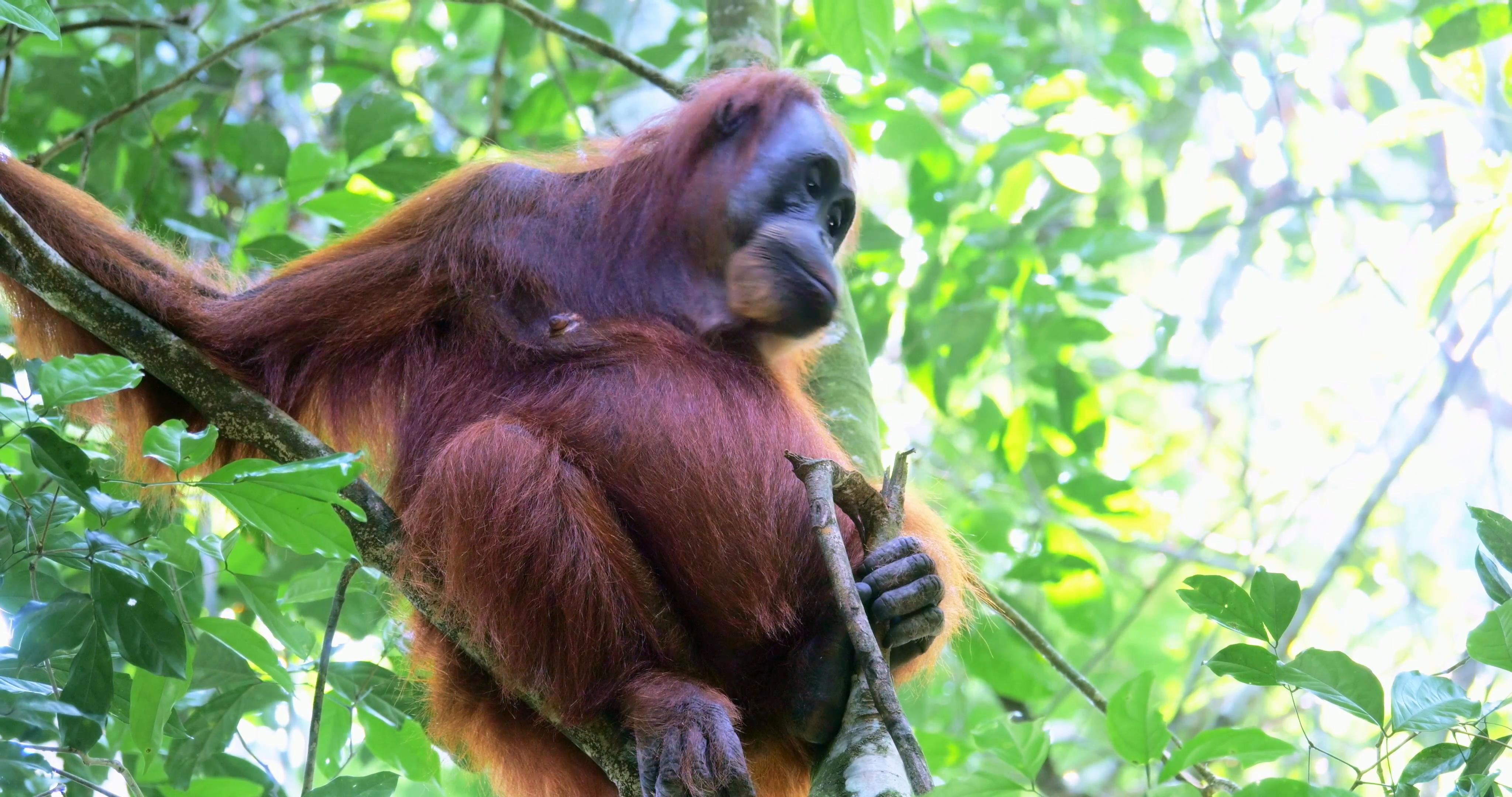 Wild orangutan monkey listening to sound of wildlife in protected ...