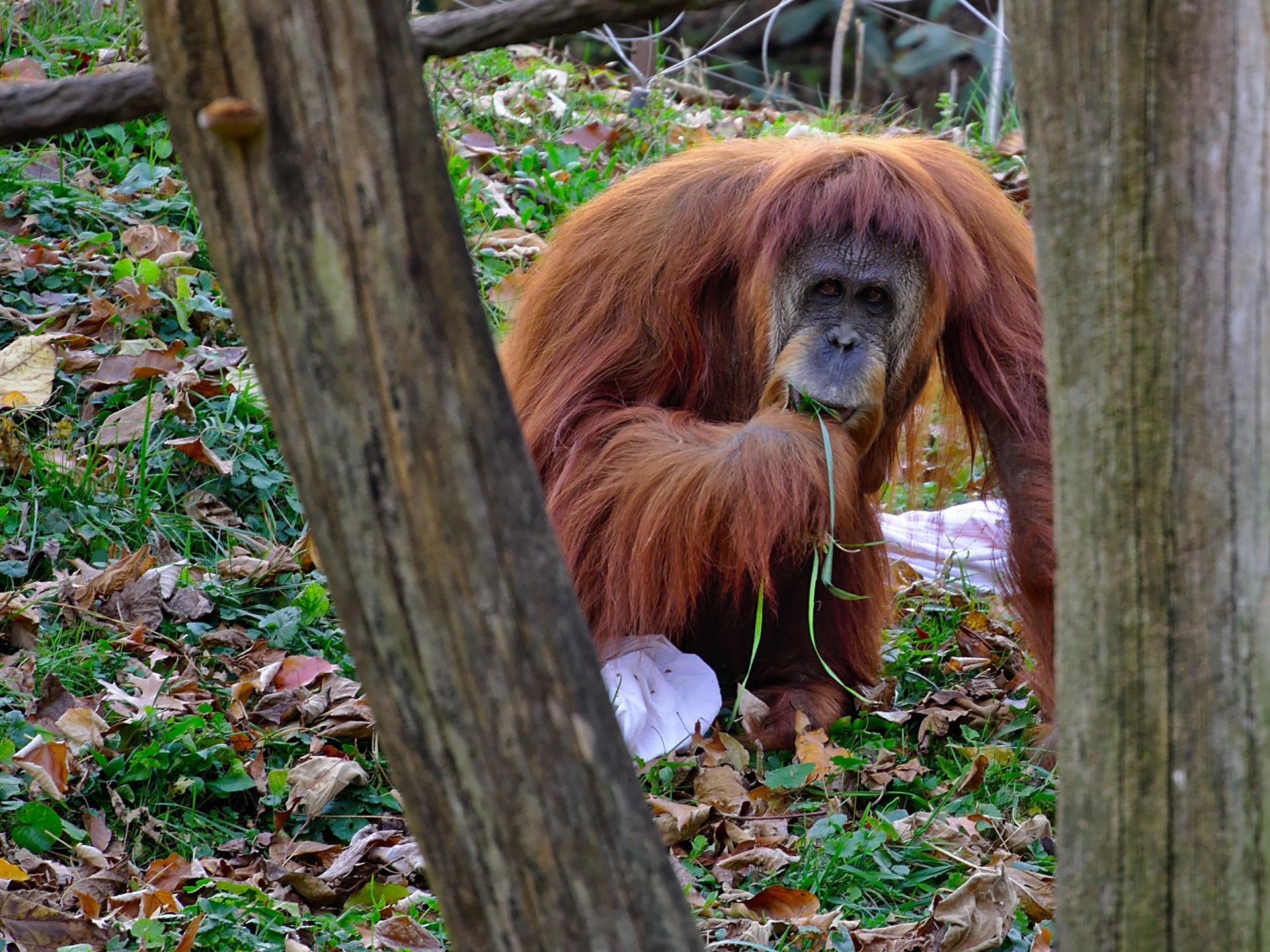 Wild Orangutang, Animal, Jungle, Monkey, Nature, HQ Photo