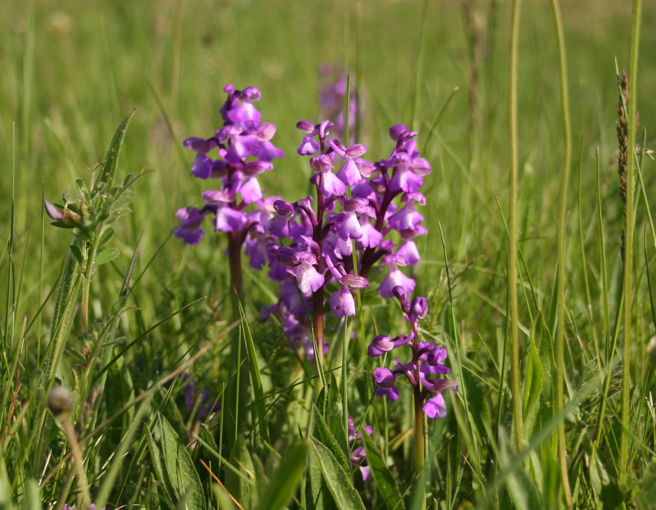 Wild Orchid in North America | OrchidsMadeEasy.com