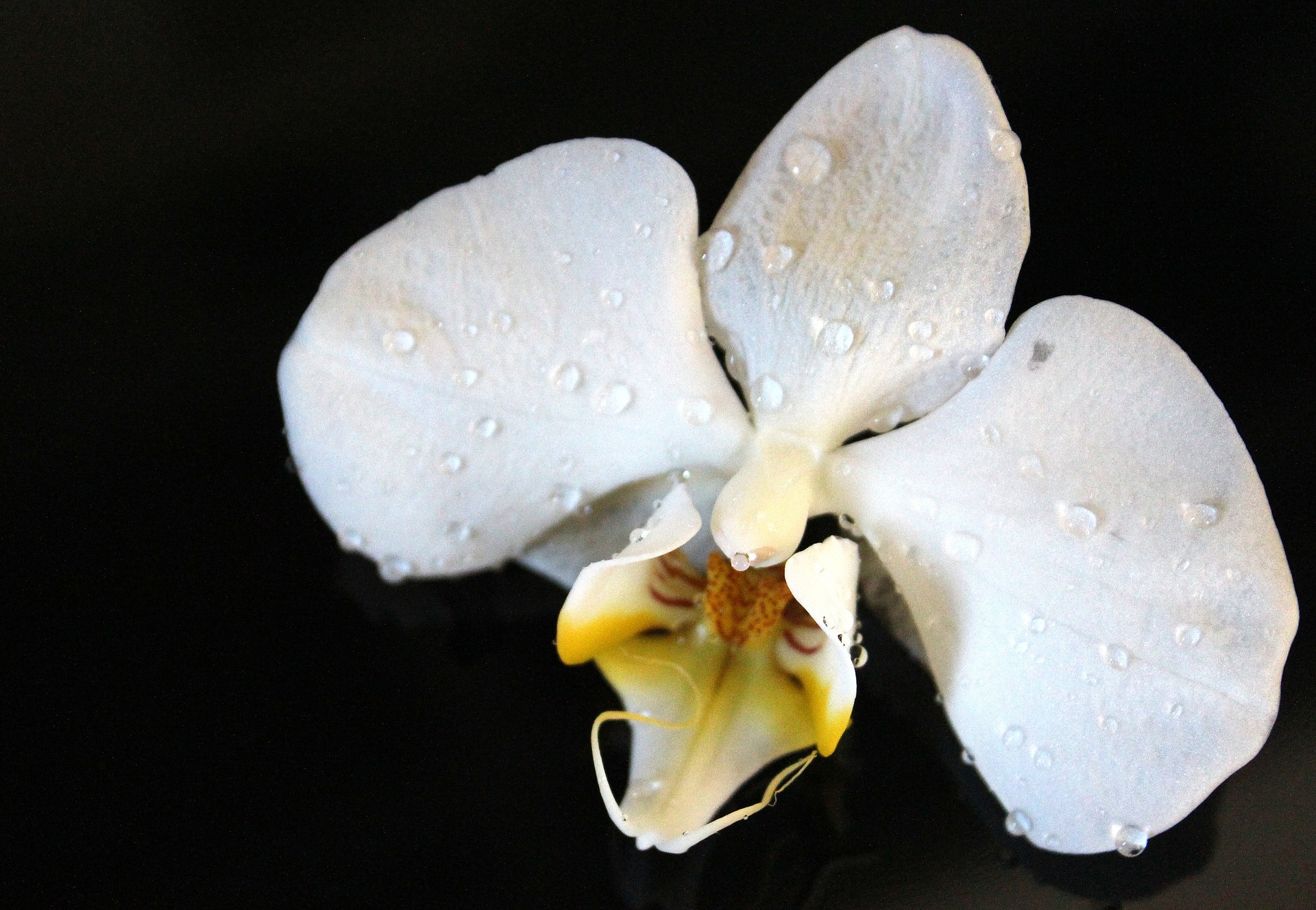 Wild Orchid, Blooming, Flower, Fragrance, Fresh, HQ Photo