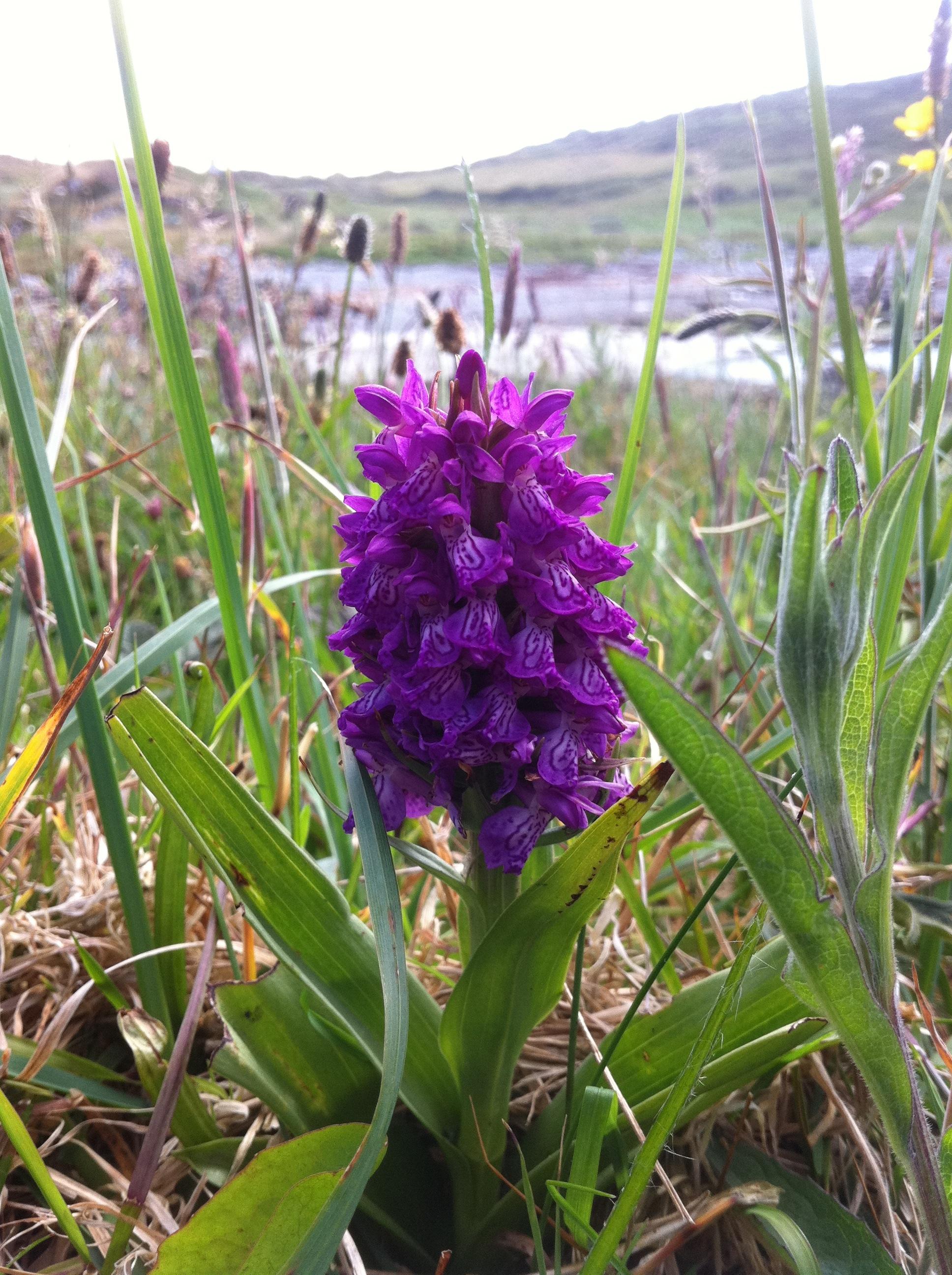 Wild Orchid   wildsherkin
