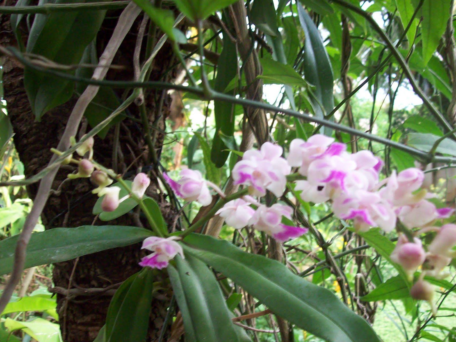 gardentropics: Wild Orchid