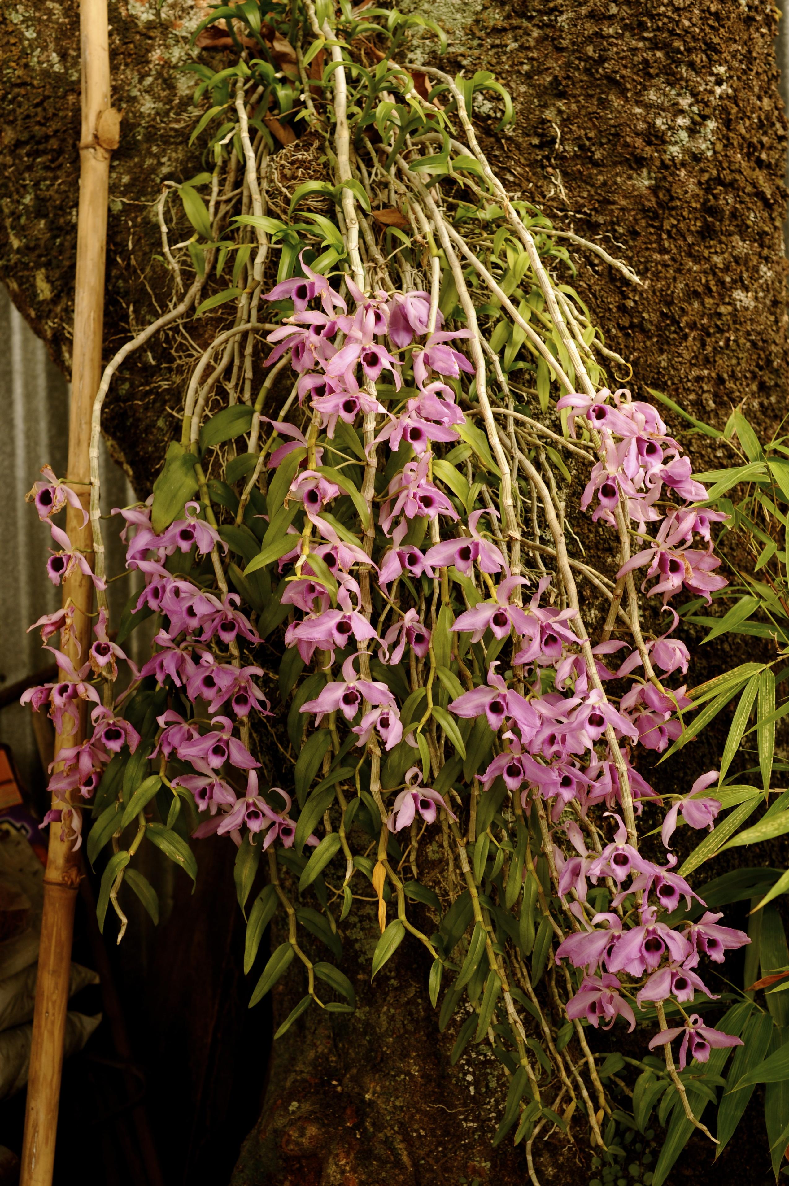 wild orchids – Hakka Chan