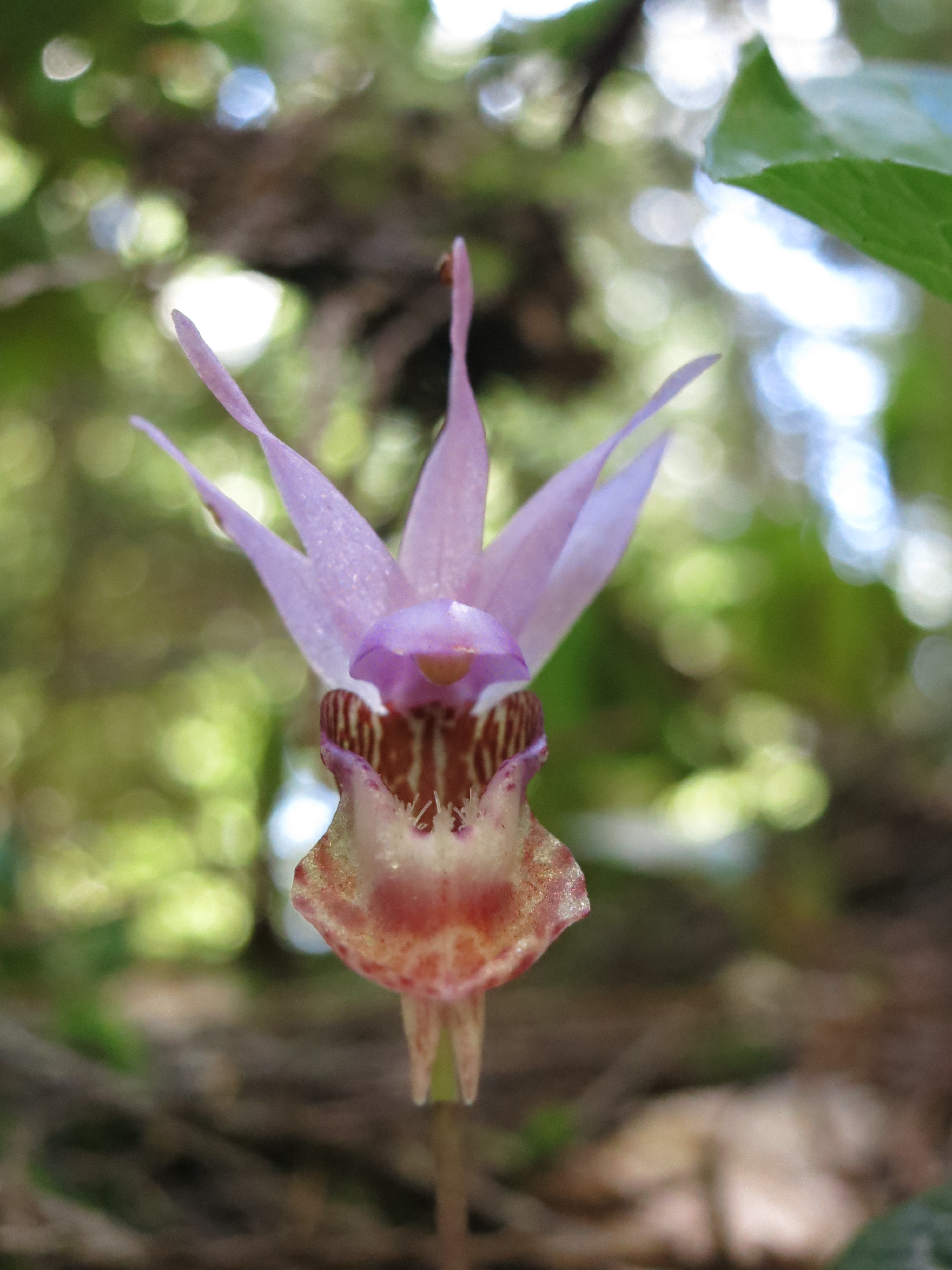 Wild Fairy Slipper Orchid Spotting in the Oregon Forest | Brooklyn ...