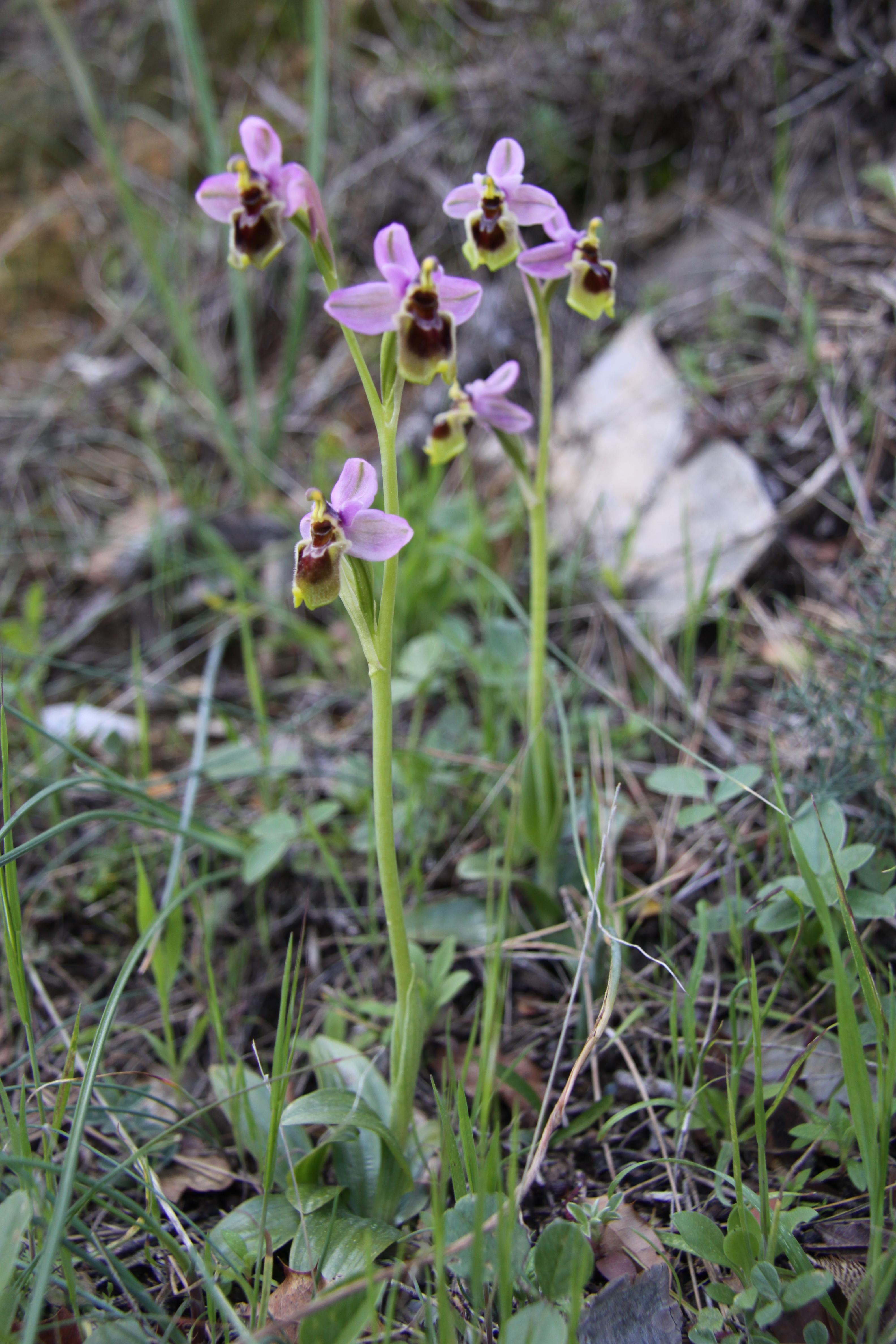 Wild Orchids – Sierra de las Nieves | Andalucia Diary