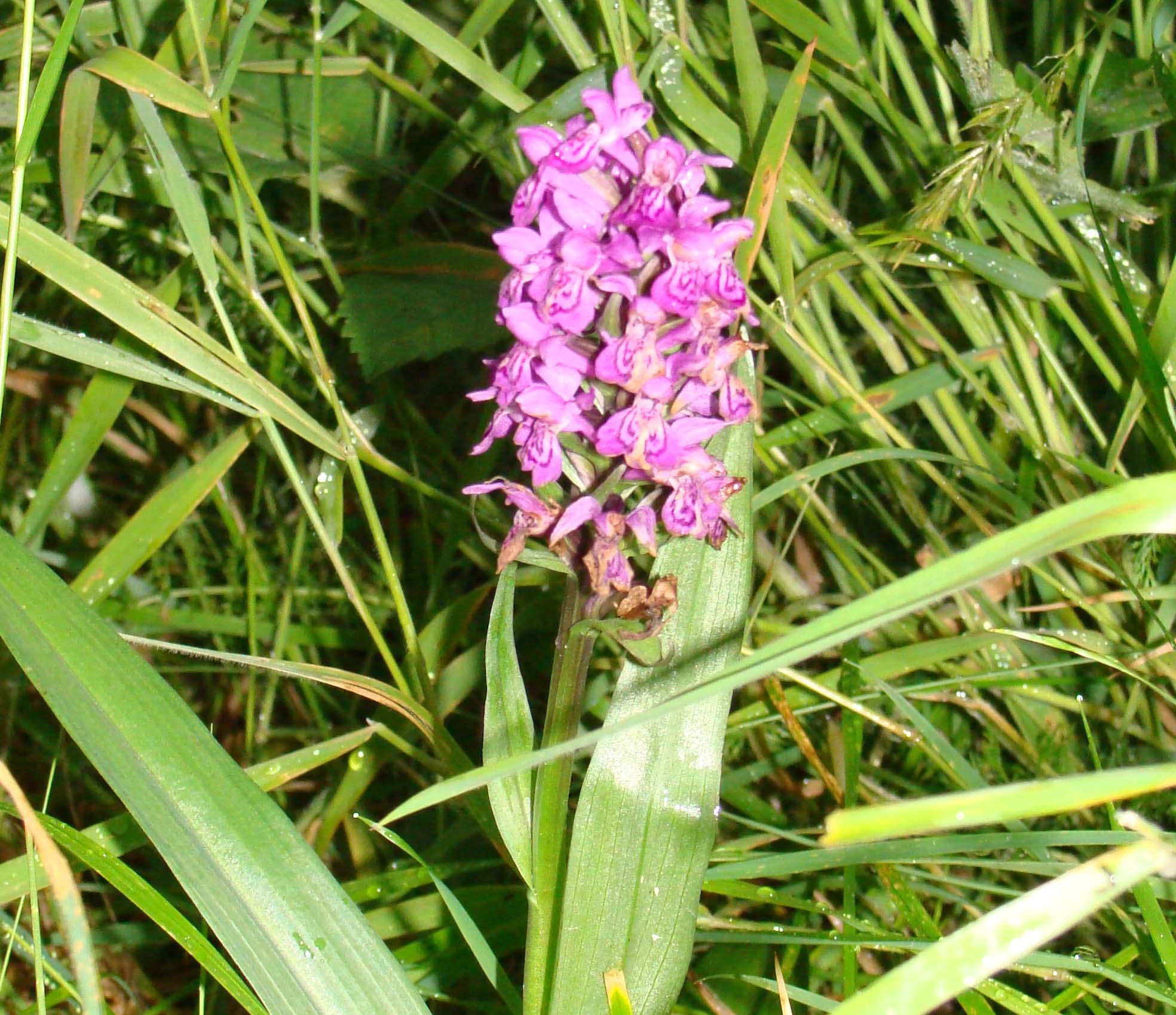 Wild (?) orchids - Identify this - Wildlife - The RSPB Community
