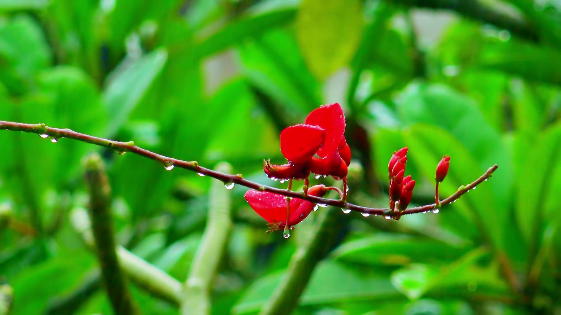Wet season in tropics. Wild orchid flowers after monsoon rain in ...