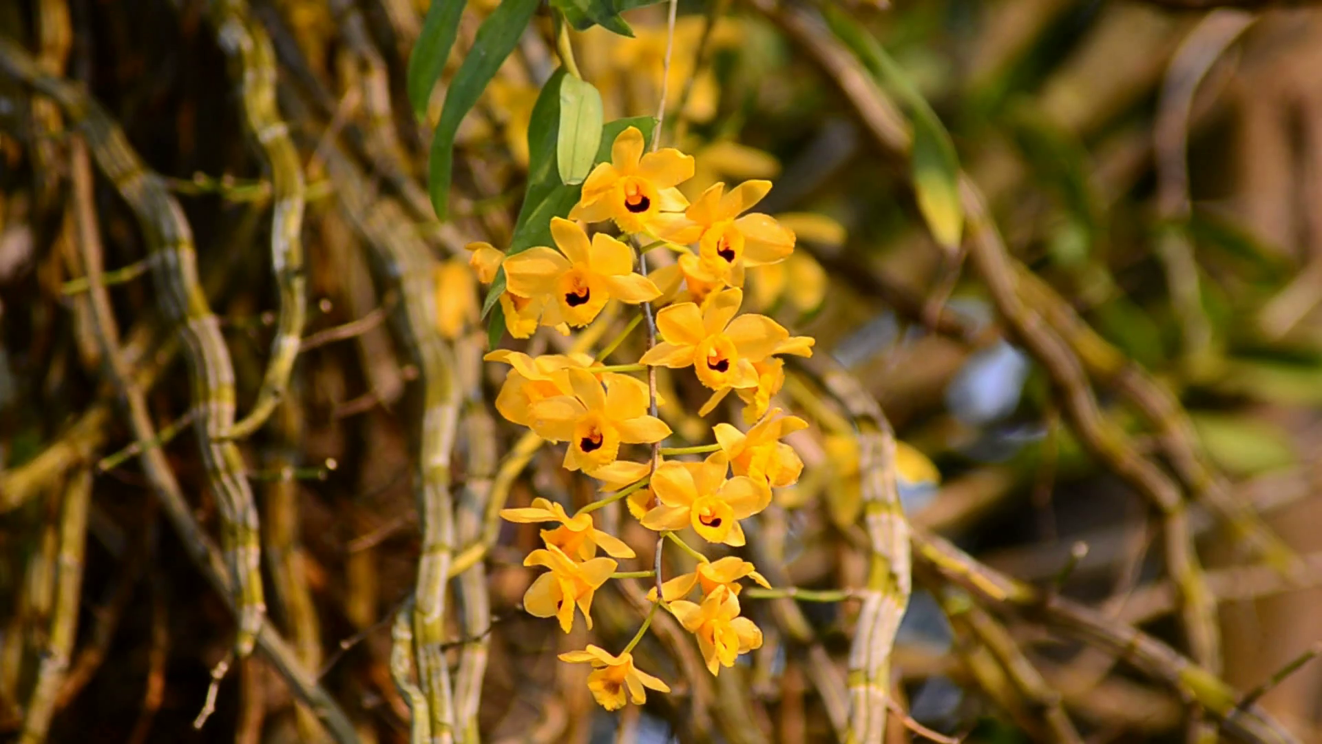 Dendrobium friedericksianum wild orchid in Thailand Stock Video ...