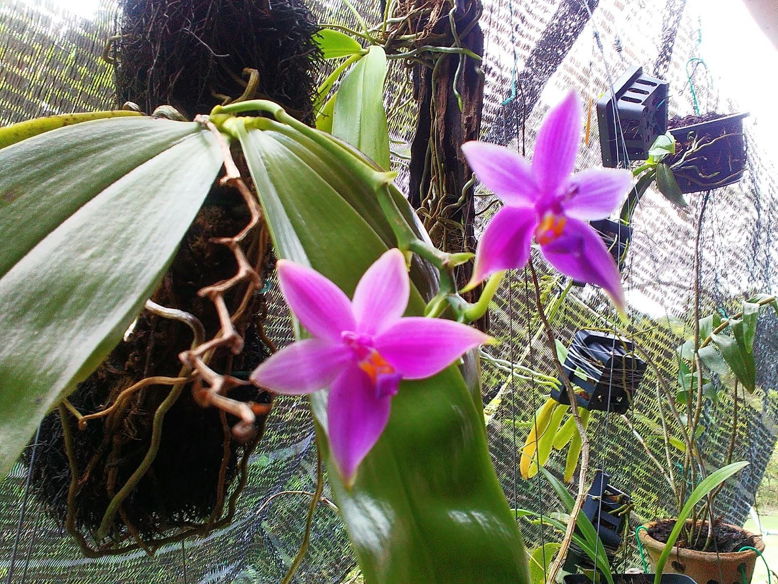 MillFa Wild Orchid