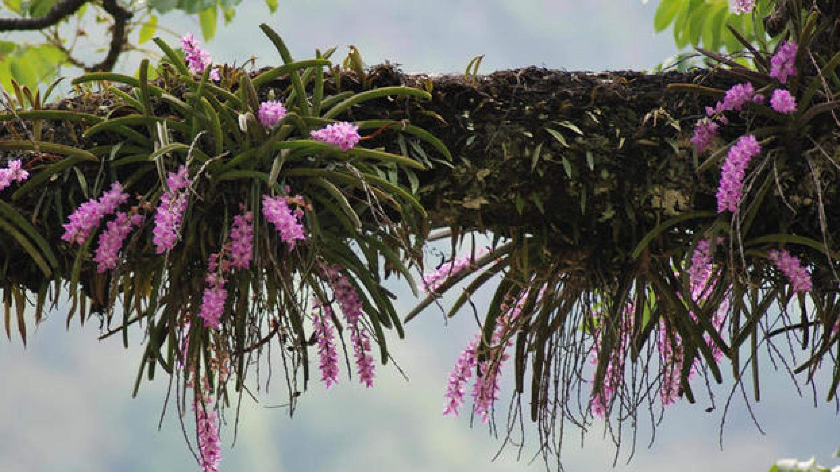 India - an orchid paradise, if you know where to look... | Kew