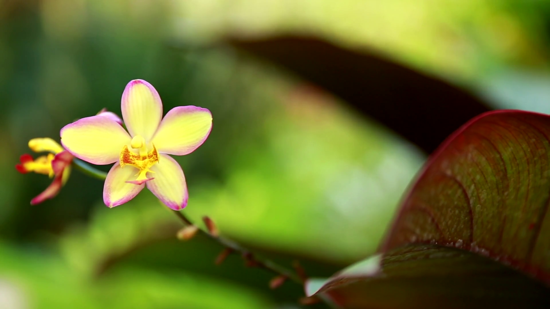 Yellow wild Orchid Flower in a macro shot moving in the breeze on ...