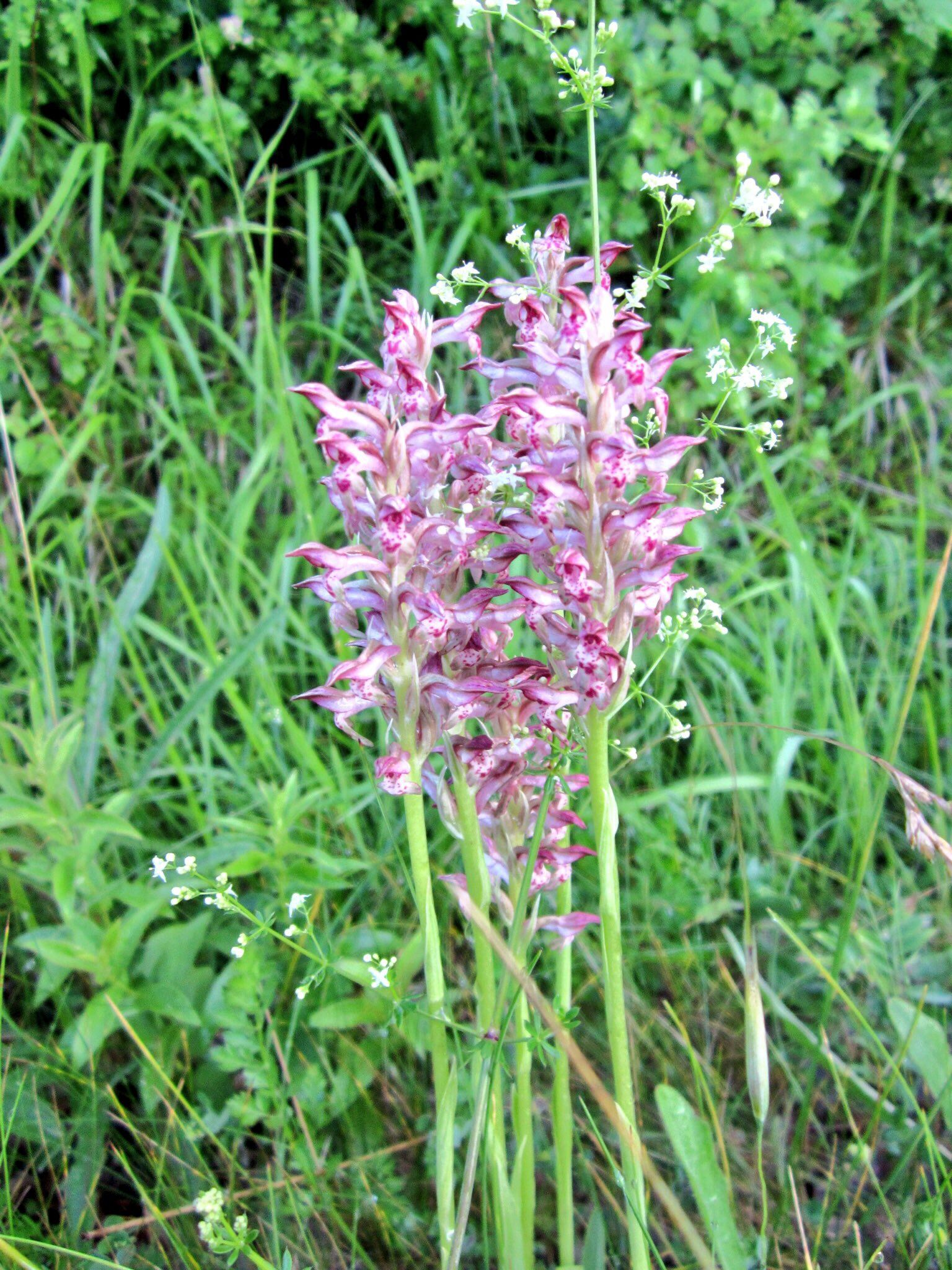 Wild Orchid in Tuscany | Nature pictures | Pinterest | Wild orchid ...