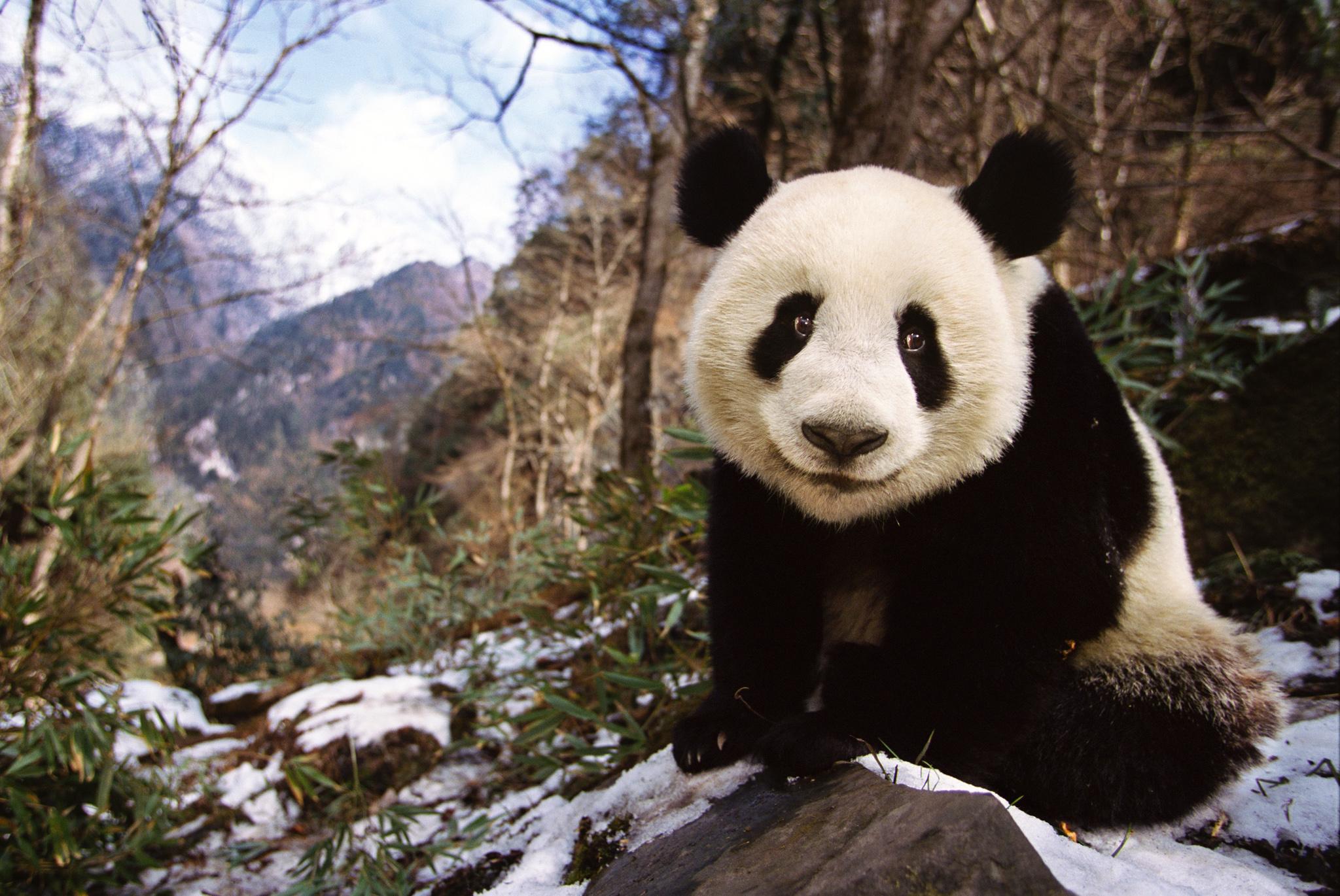 Wild panda photo