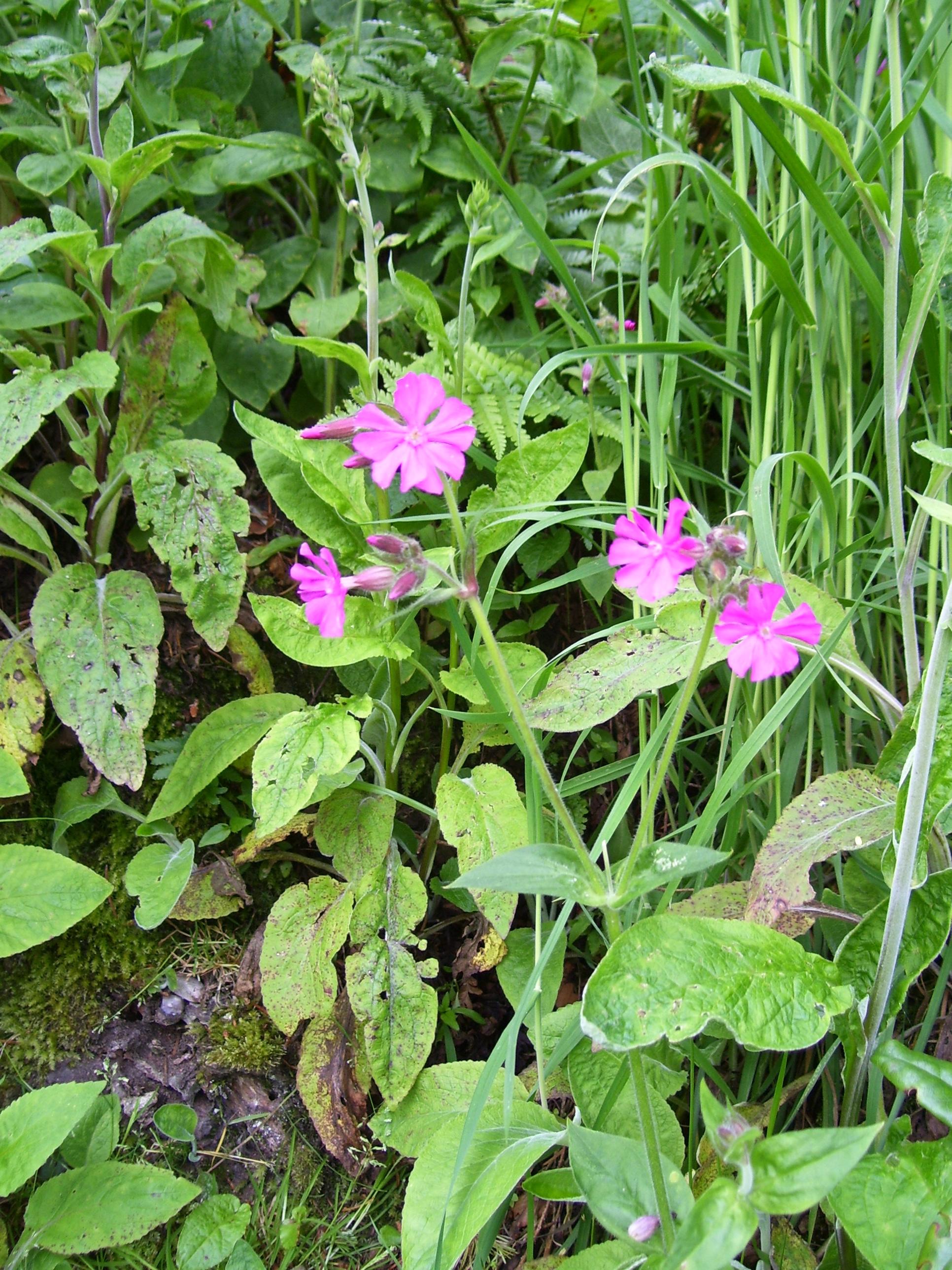 Free photo wild pink flower park outdoors organic free wild pink flower mightylinksfo