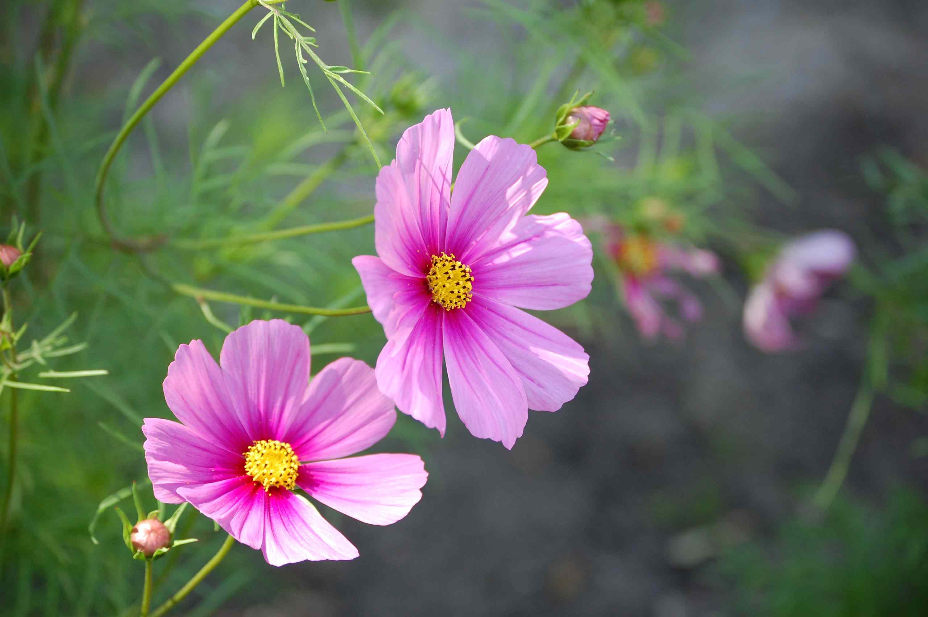 free photo  wild pink flowers