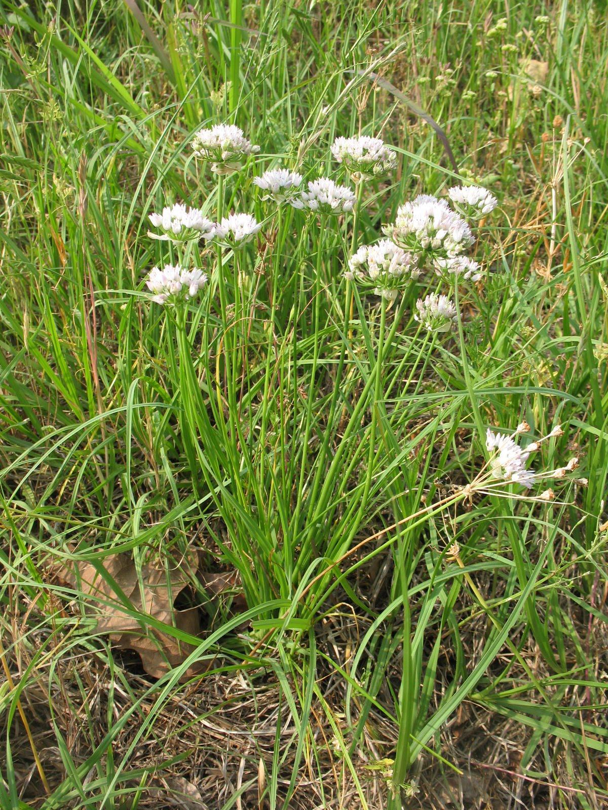 Sensible Survival: Edible Wild Plants - Wild Onions